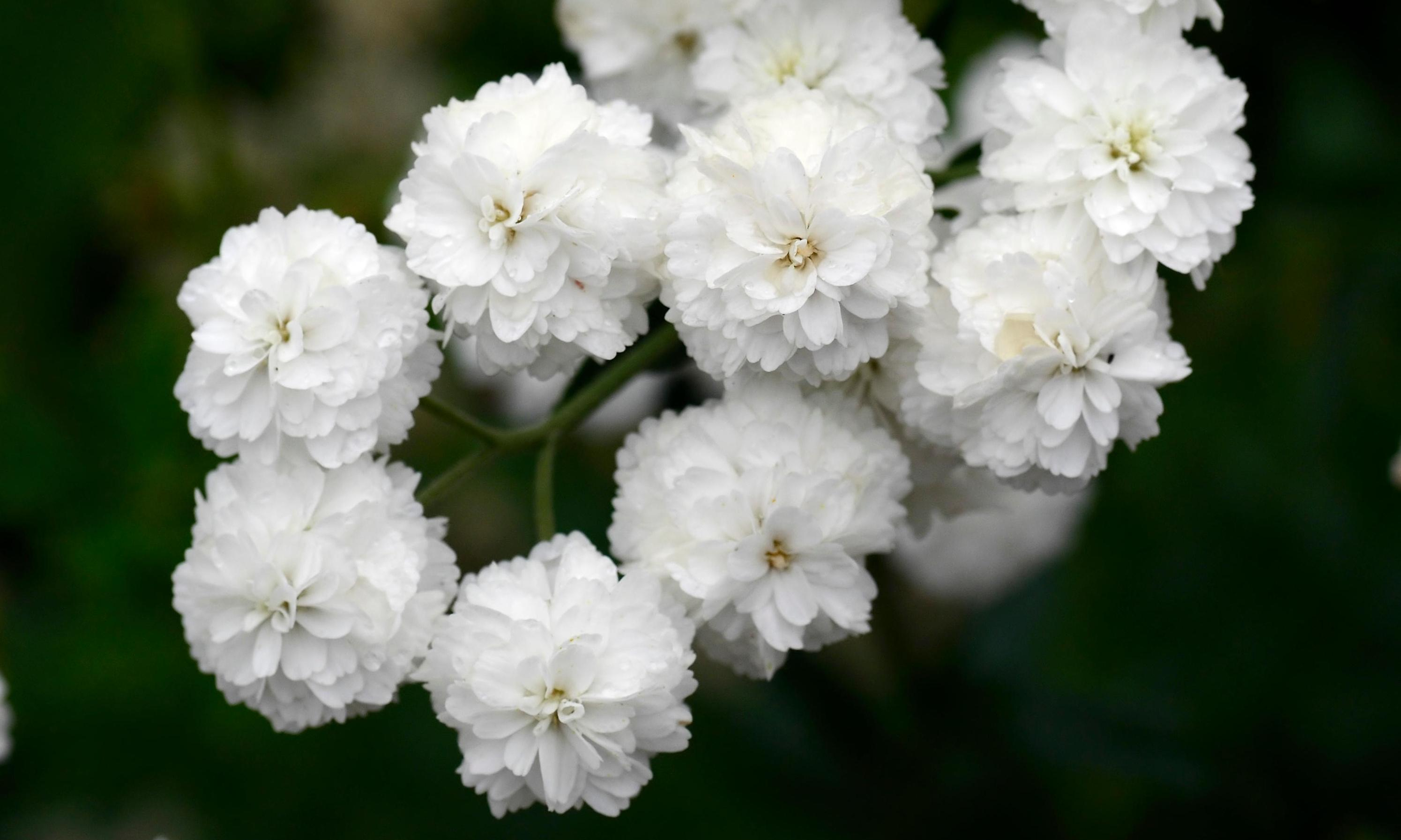 Gardening tips: plant sneezewort for sprays of tiny white flowers all summer long