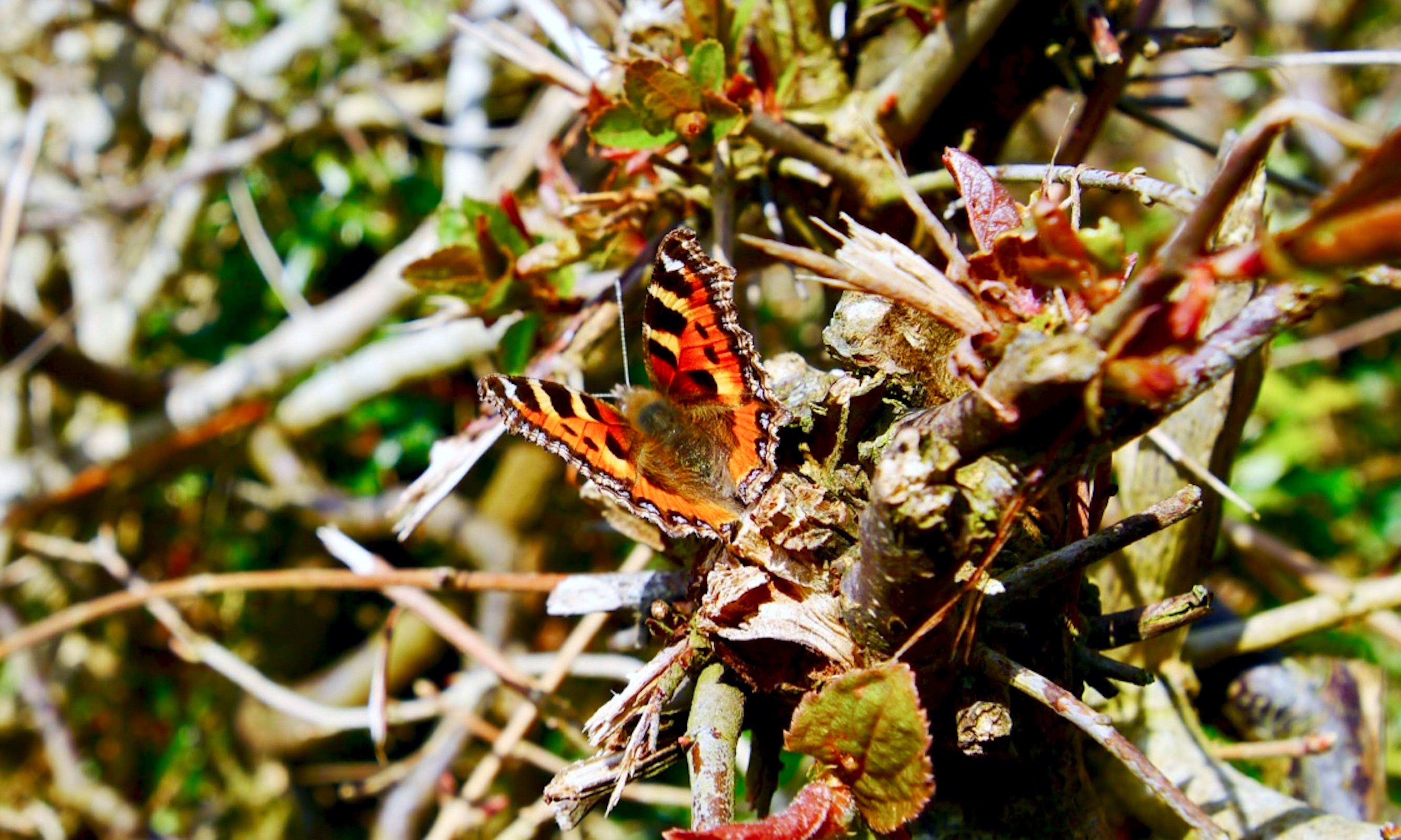 Country diary: butterflies are not as delicate as they look