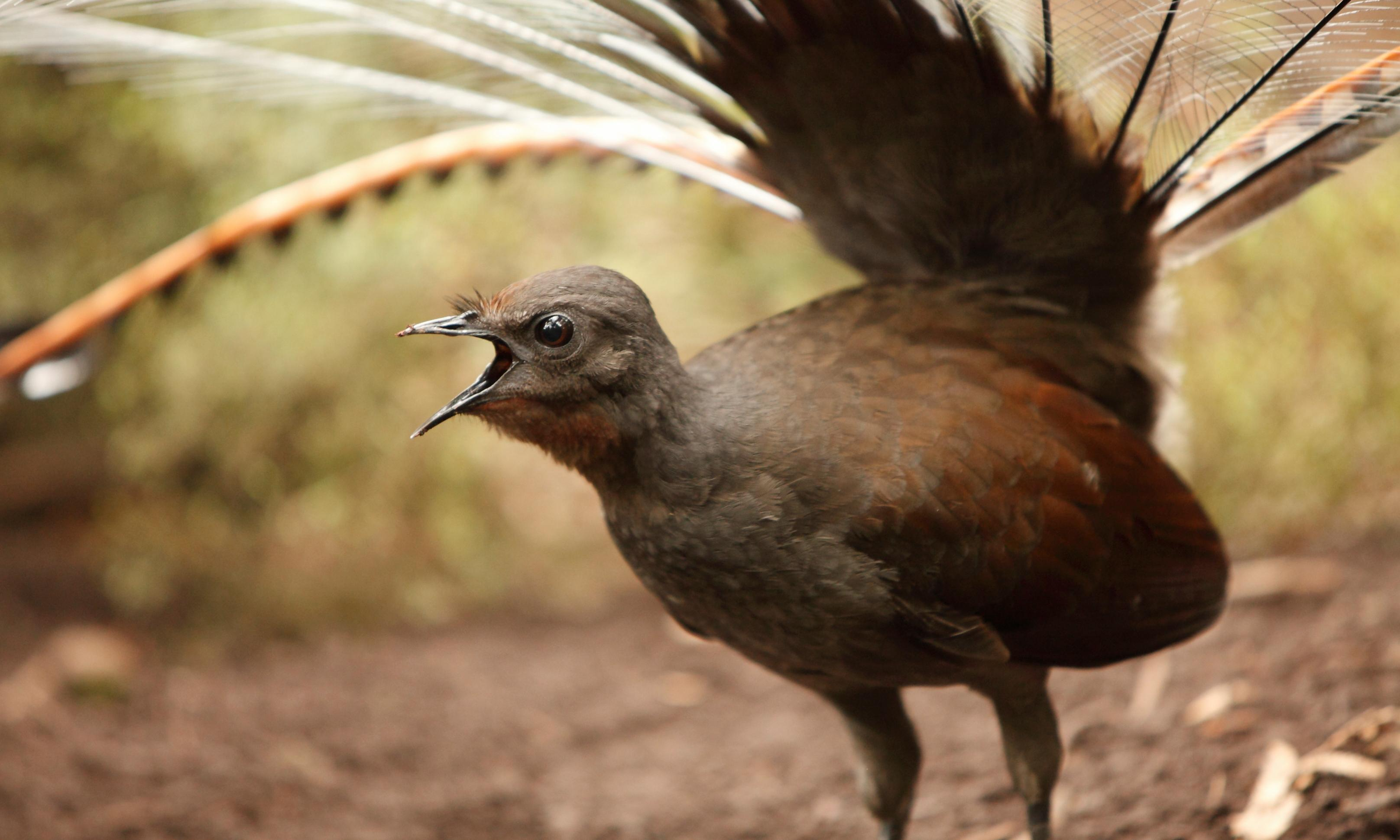 Lyrebirds are survivors, but the situation for Australian birdlife after the bushfires is dire