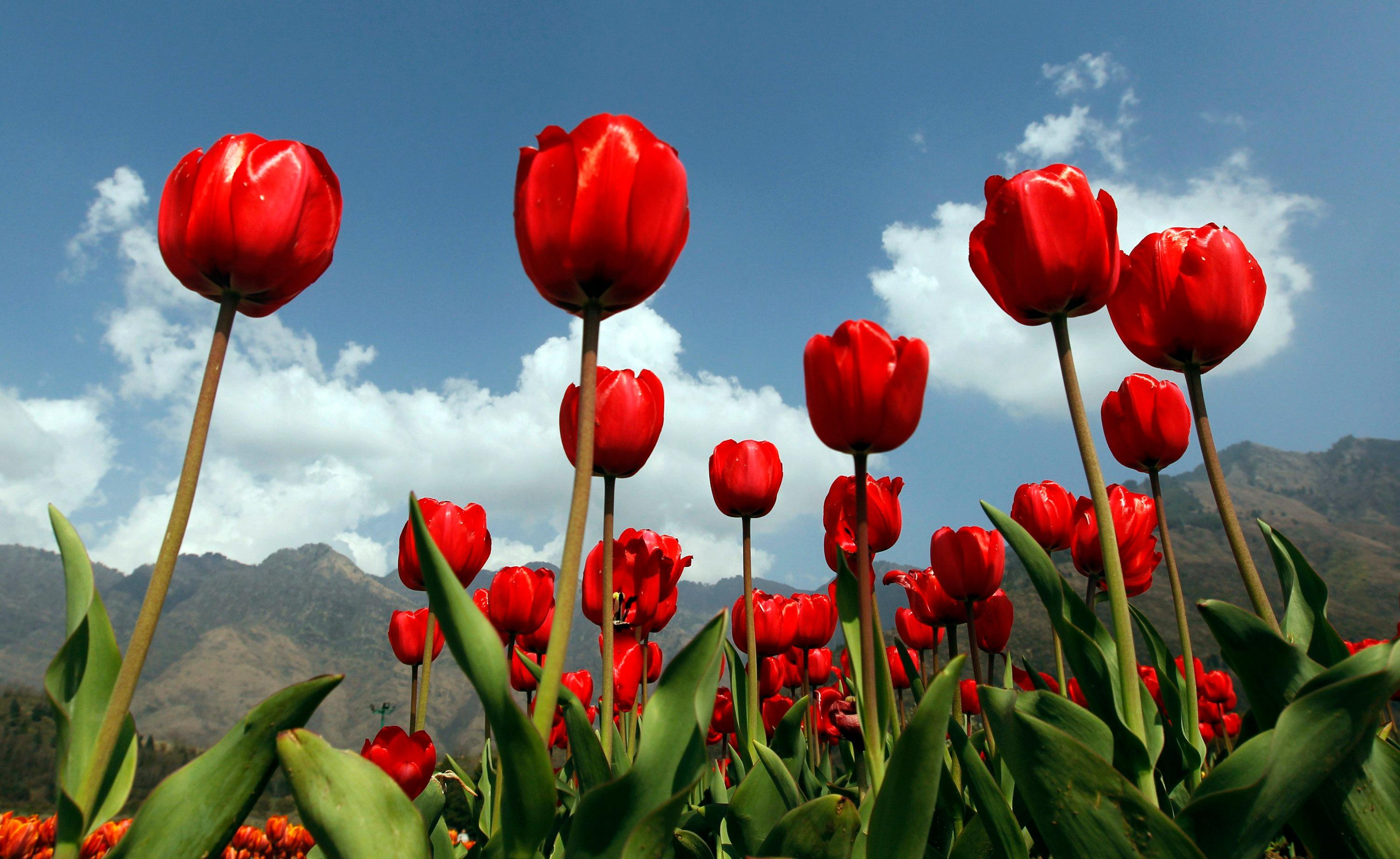 What links Tulip, Carnation, Bulldozer and Jeans? The Weekend quiz