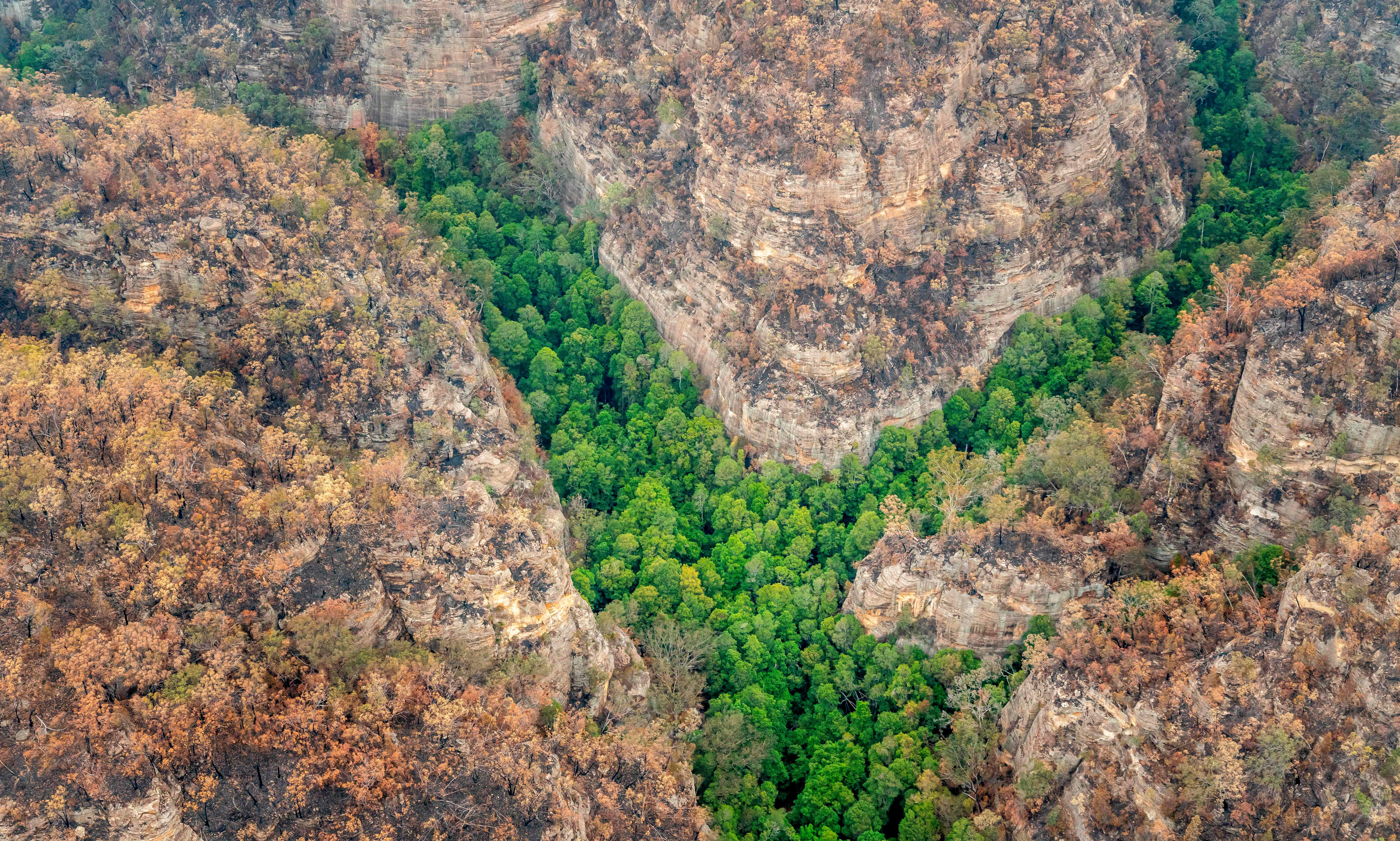 'Dinosaur trees': firefighters save endangered Wollemi pines from NSW bushfires