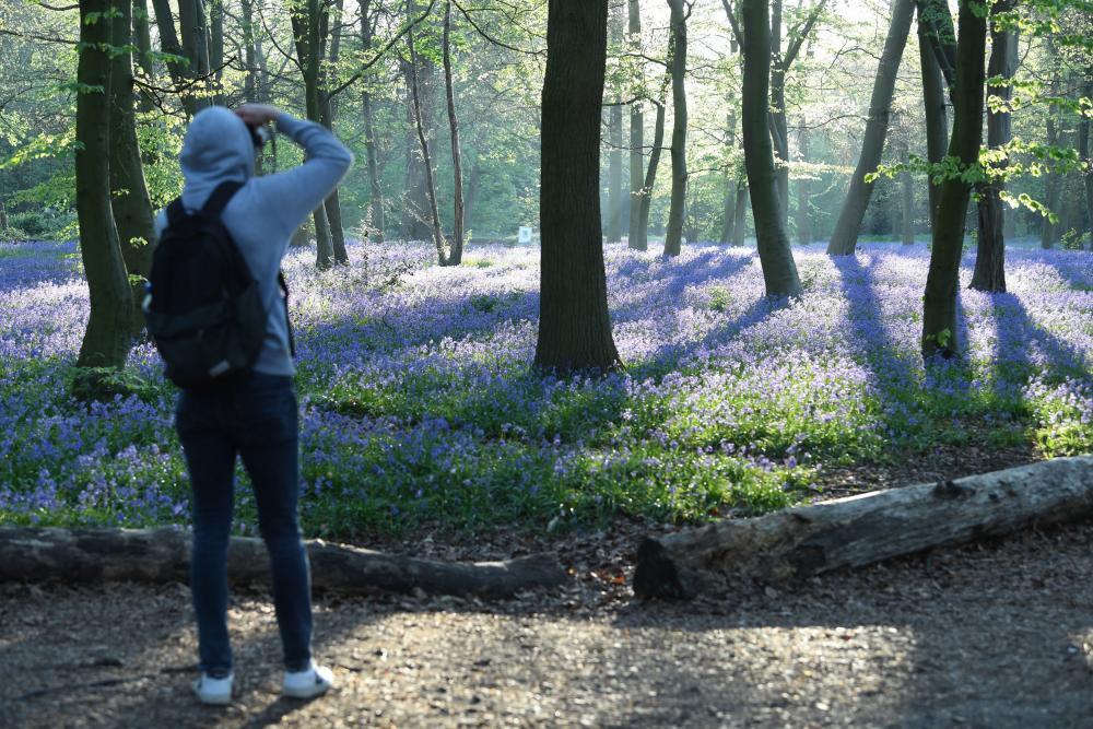 Bluebells in Wanstead Park.