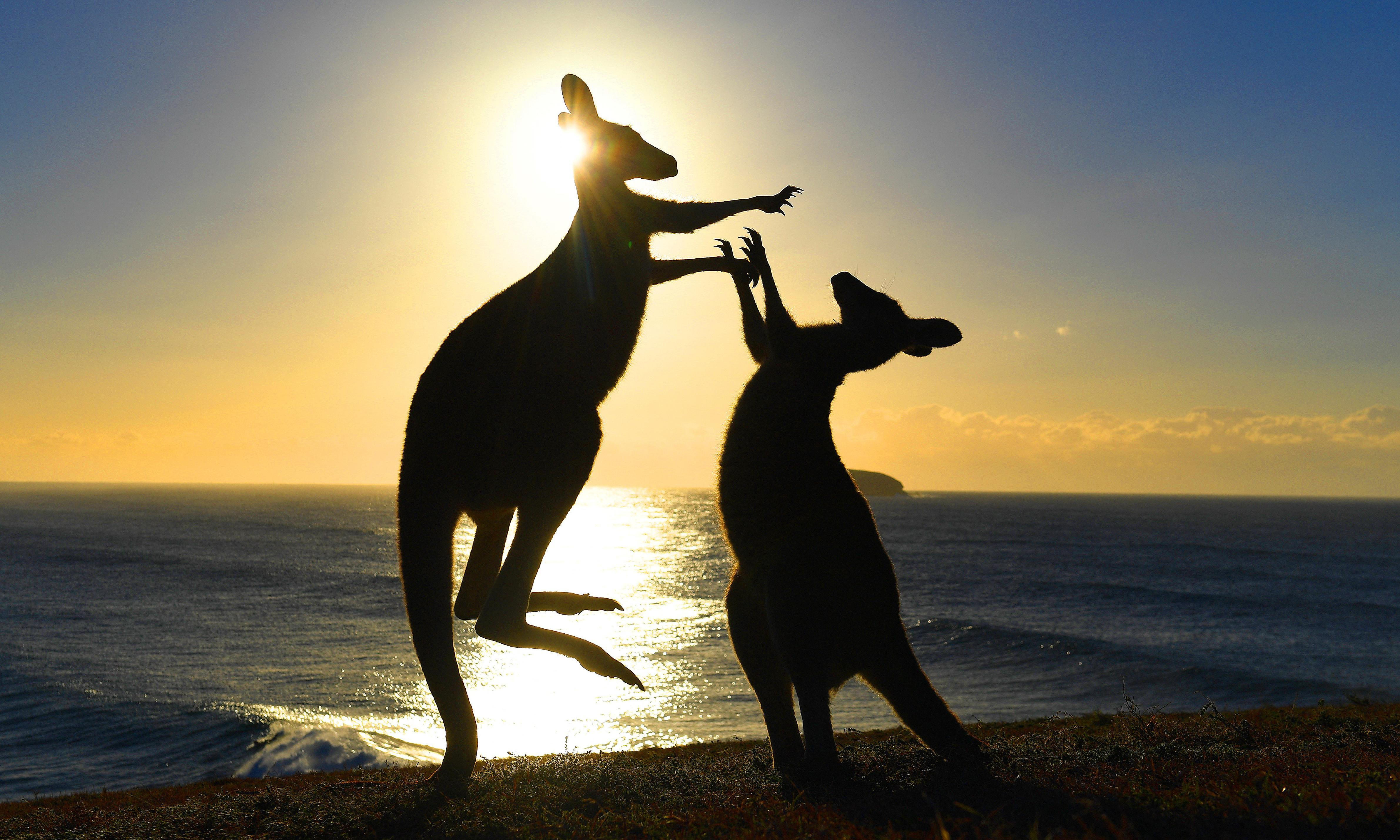 'Kangaroo court': what have marsupials got to do with White House politics?