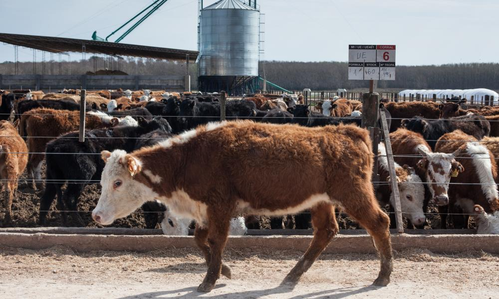 'There won't be factory farms or abattoirs in 2050': beef cattle in Argentina, a major cow-meat producer.