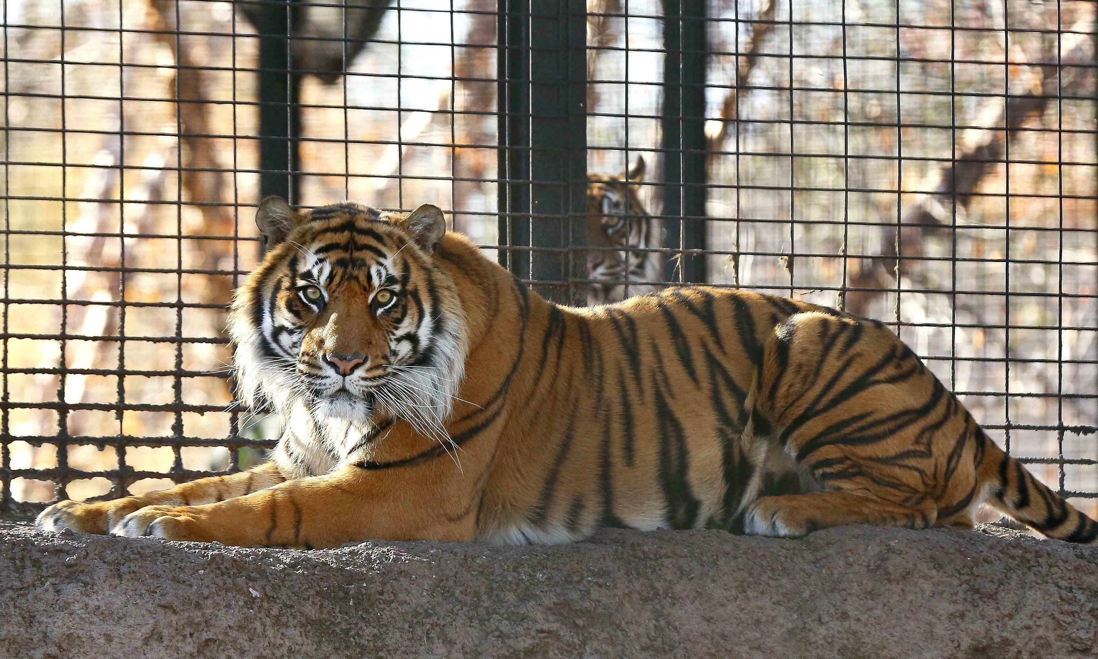 Tiger attacks and mauls zookeeper in Topeka, Kansas