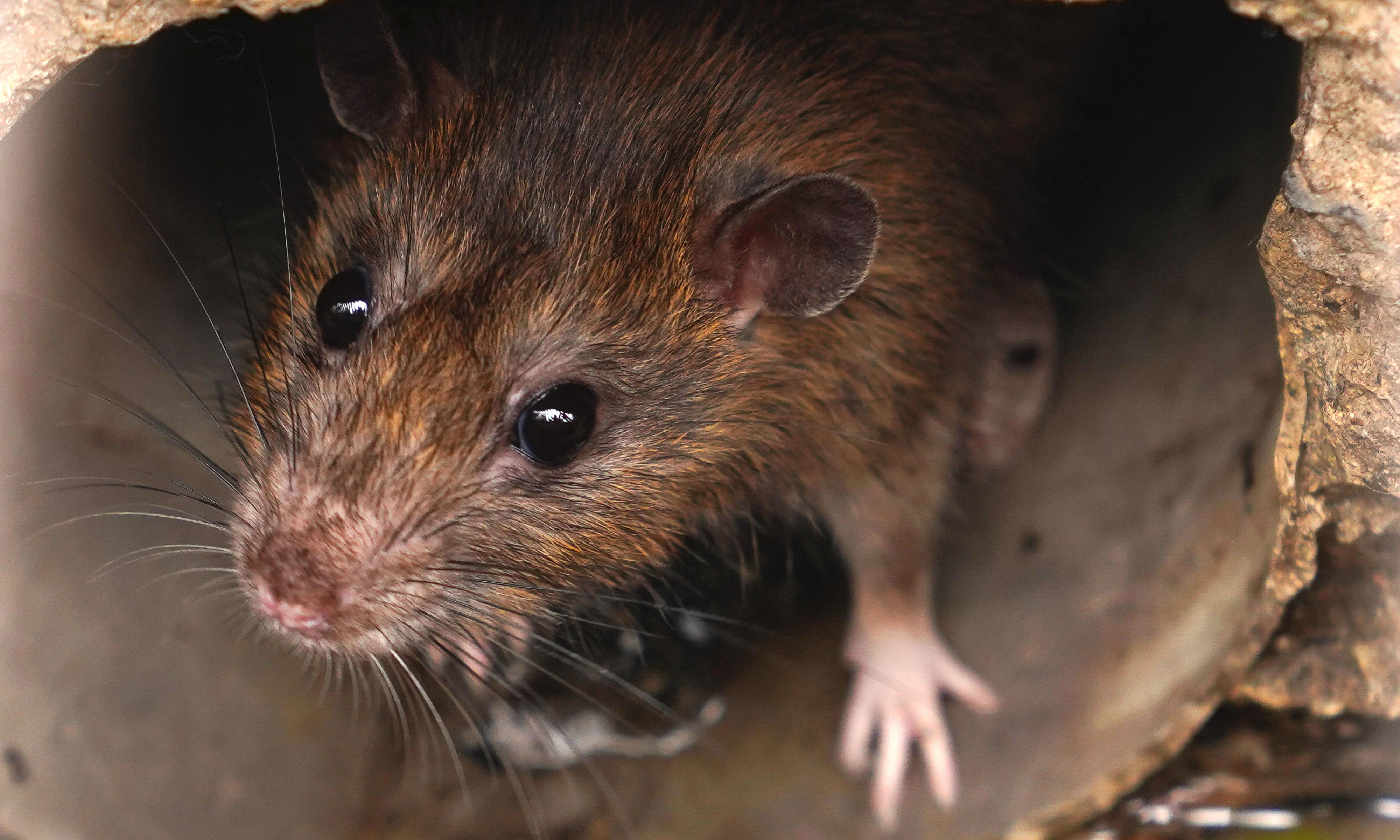 Giggles and 'joy jumps': rats love games of hide and squeak, scientists find