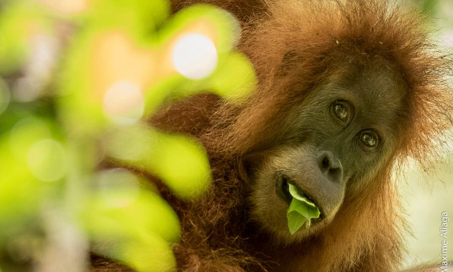 Nestlé products removed from Melbourne zoos over palm oil