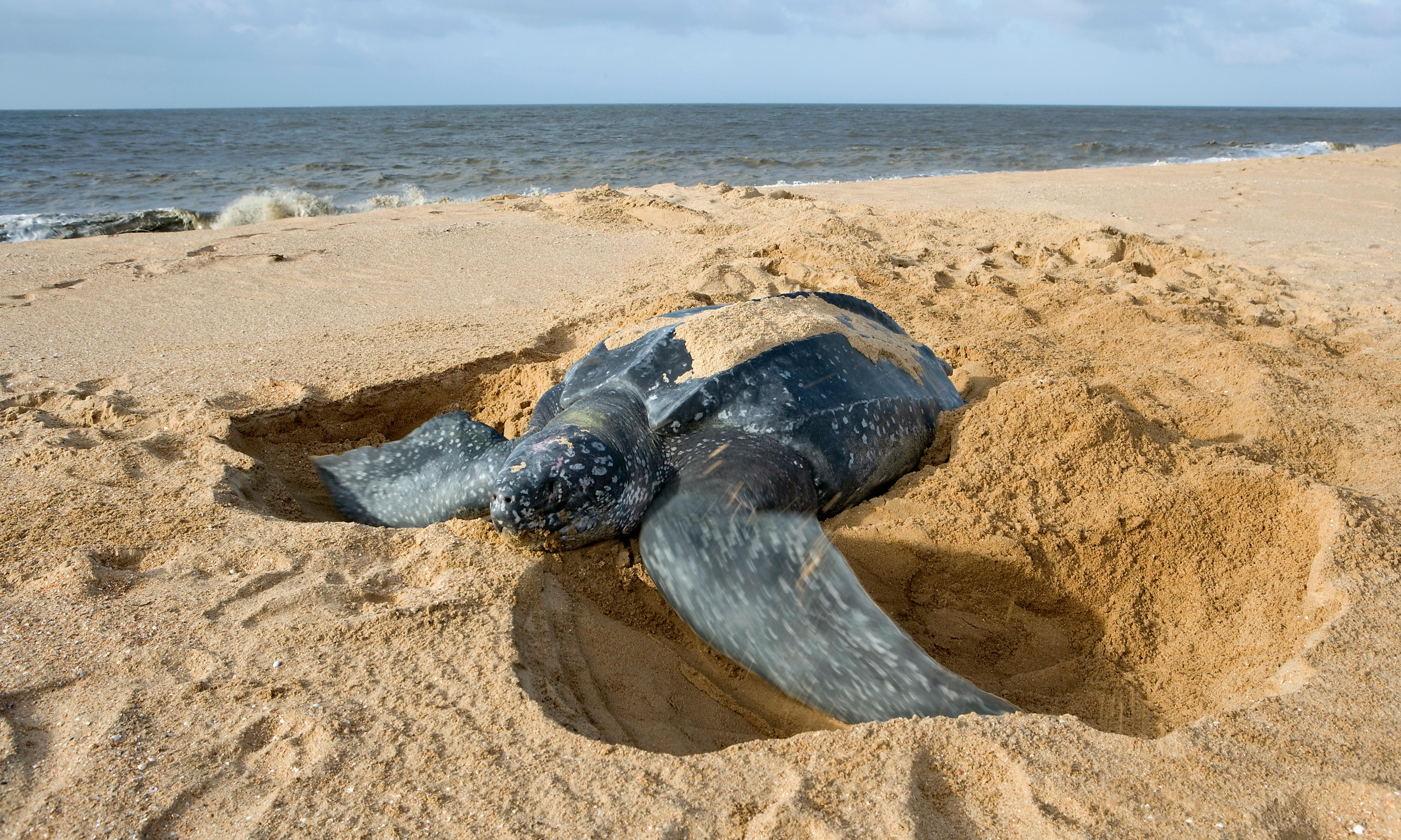Turtles' absence from Nicaraguan stronghold raises alarm for future