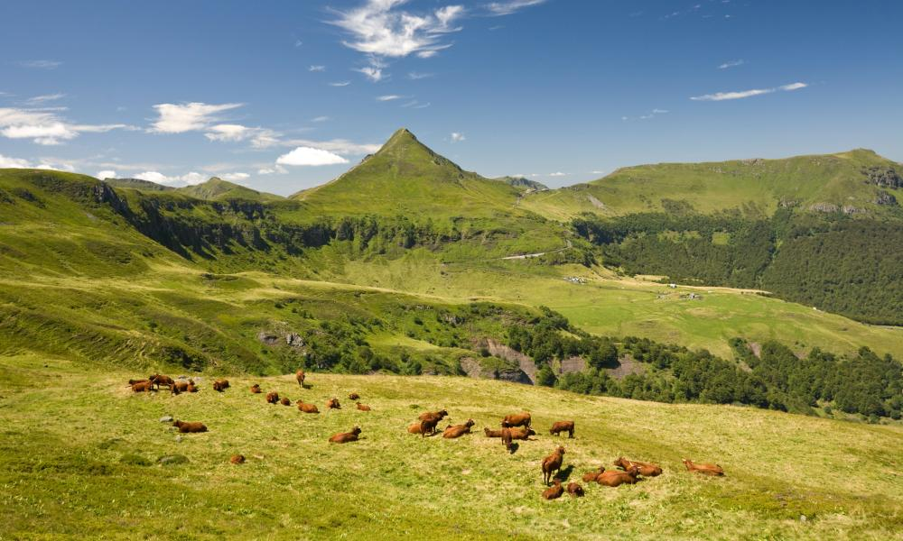 Summering cows of the Salers breed on Cantal pastures in the Auvergne des volcans natural regional park, Auvergne, France.