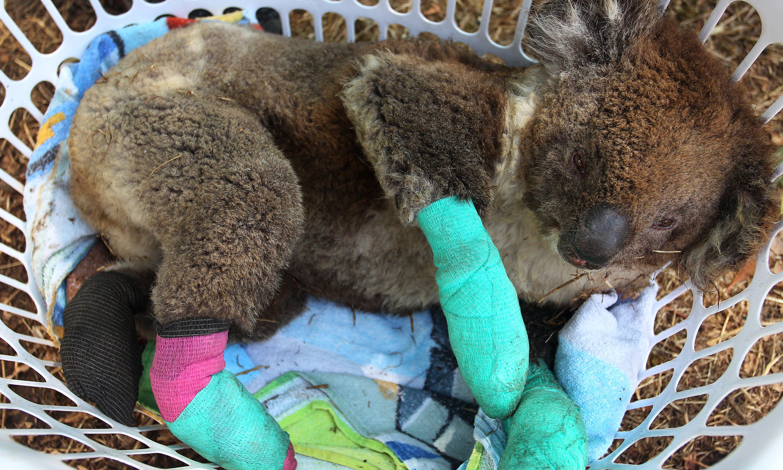 'Brutal business': bushfire devastation causes 'collective grief' among wildlife carers