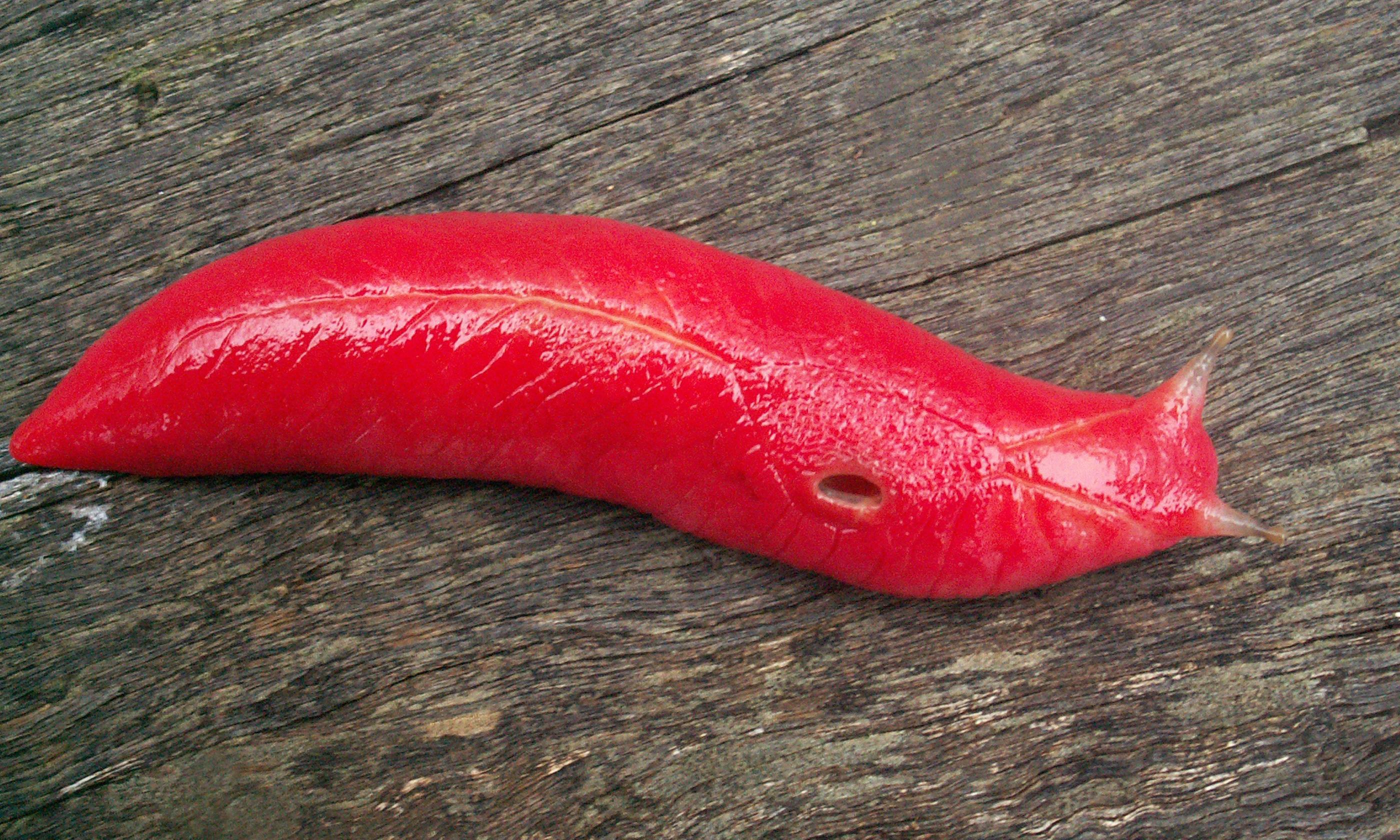 Fluorescent pink slug, unique to Australian mountaintop, survives bushfires