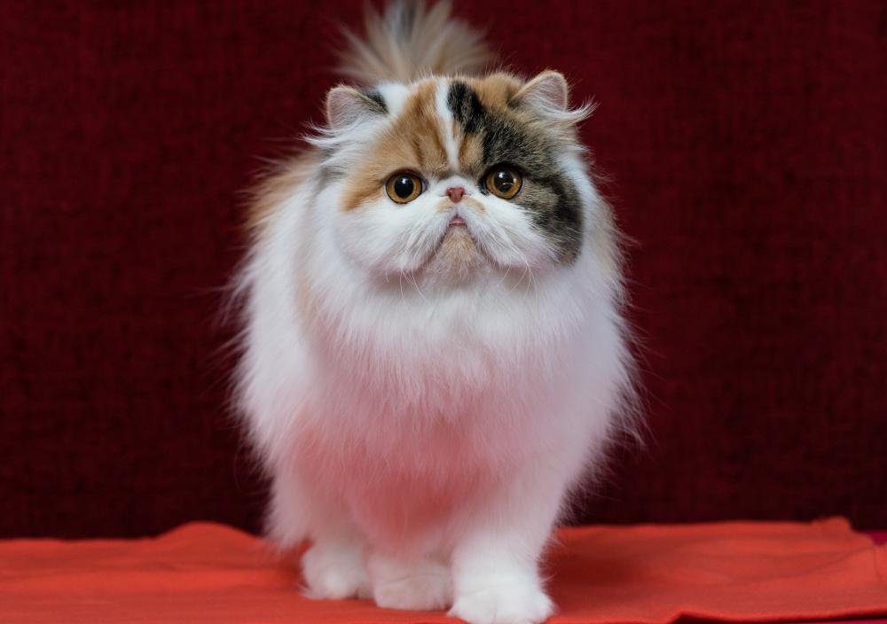 Persian cats can have can have problems breathing and eating.