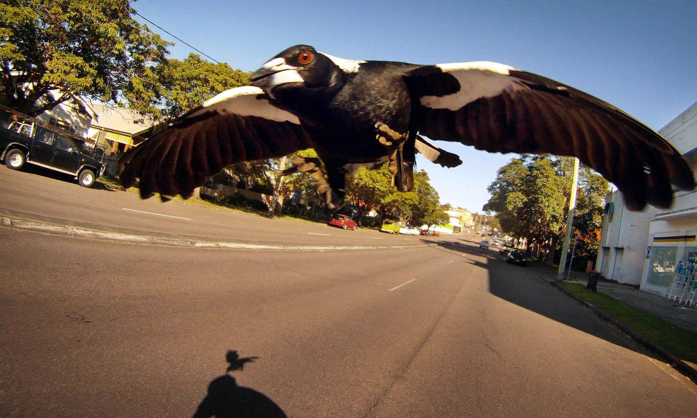 Cyclist dies after crashing while under attack by swooping magpie