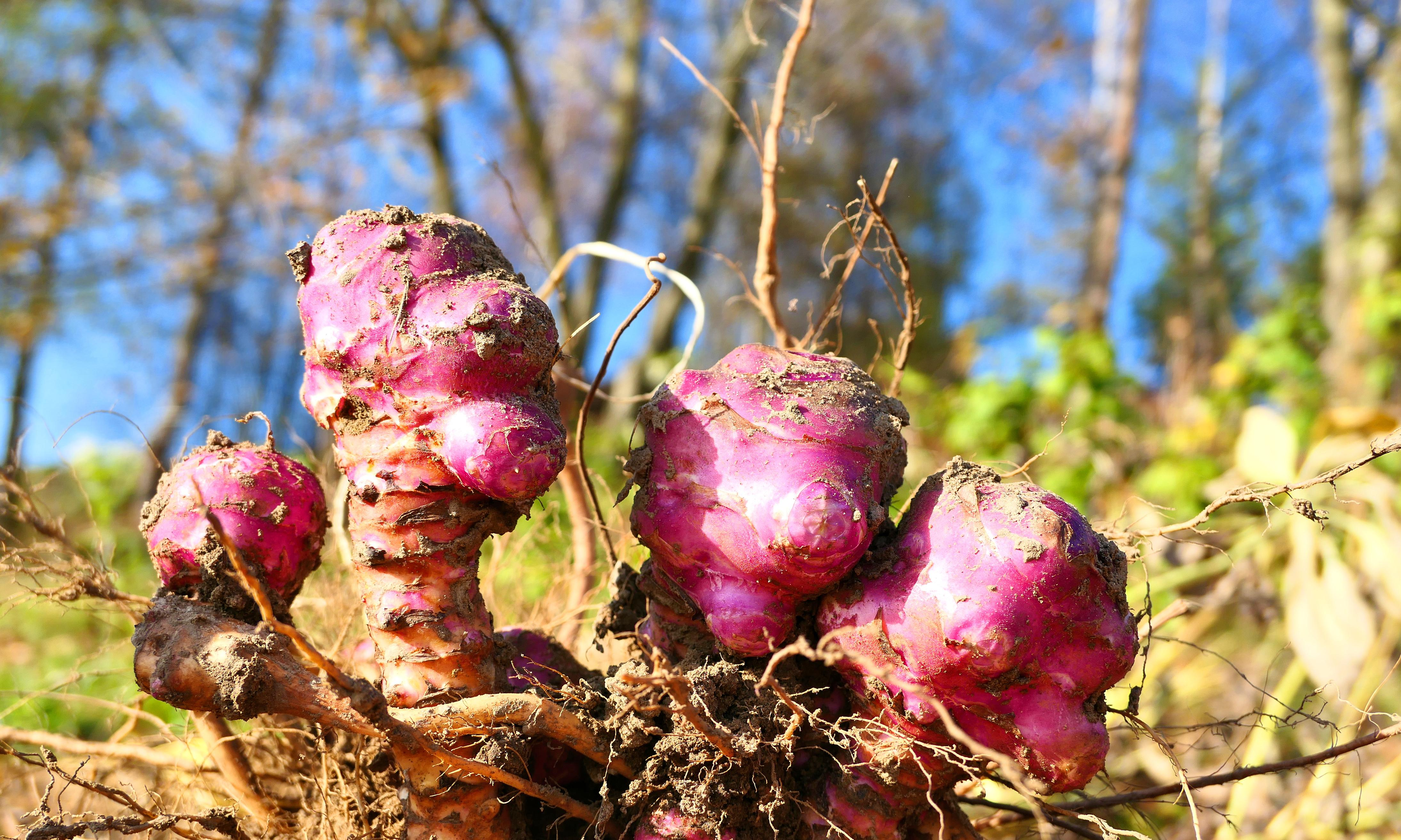 Why Jerusalem artichokes pack a real punch