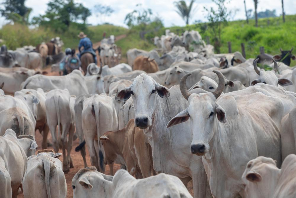 Cowboys transport livestock in Sao Felix do Xingu, in the state of Para.