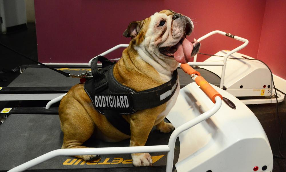 Daisy the bulldog tries out the treadmill in the gym at the hotel in Chelsea.