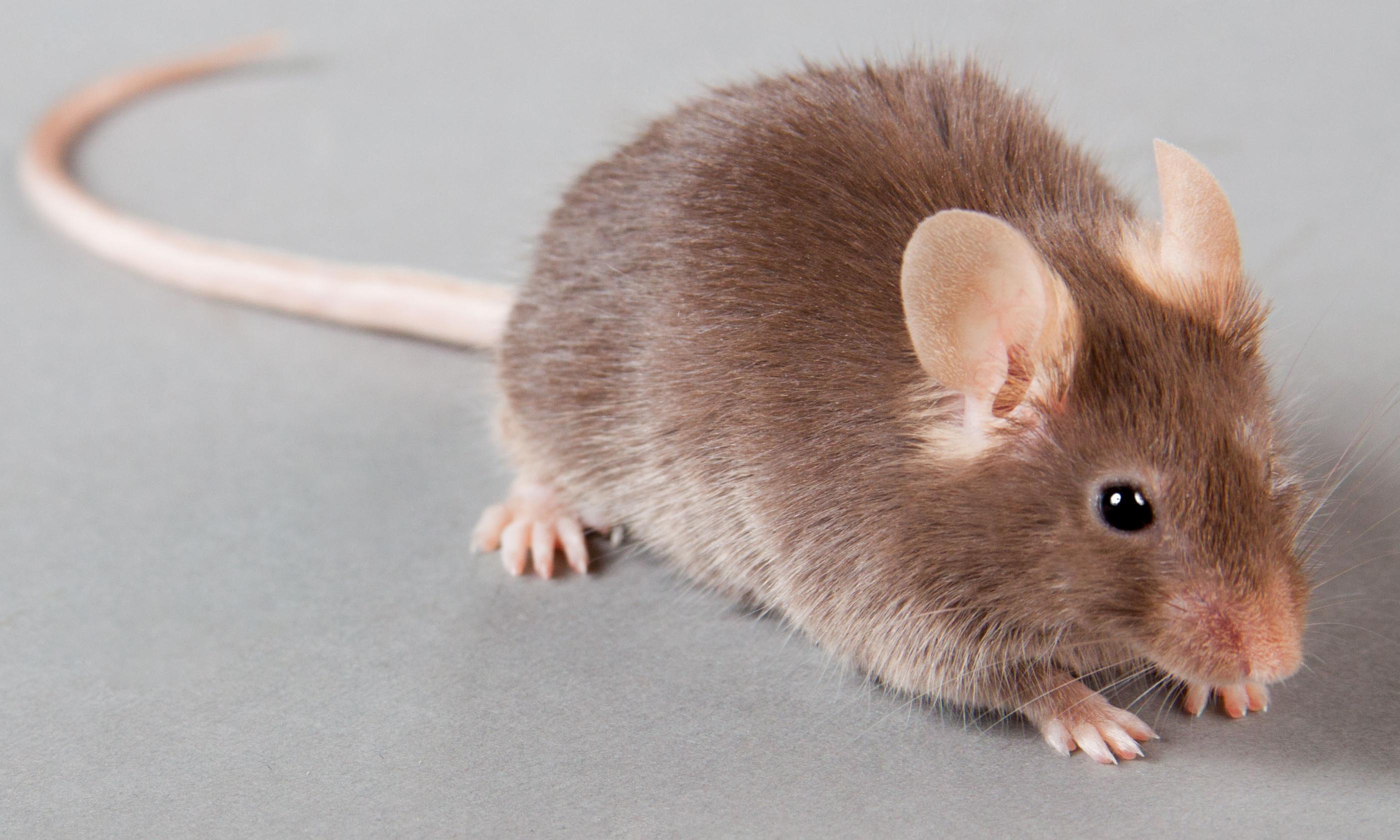 Scientists rewrite mice DNA so genes can be spread through species