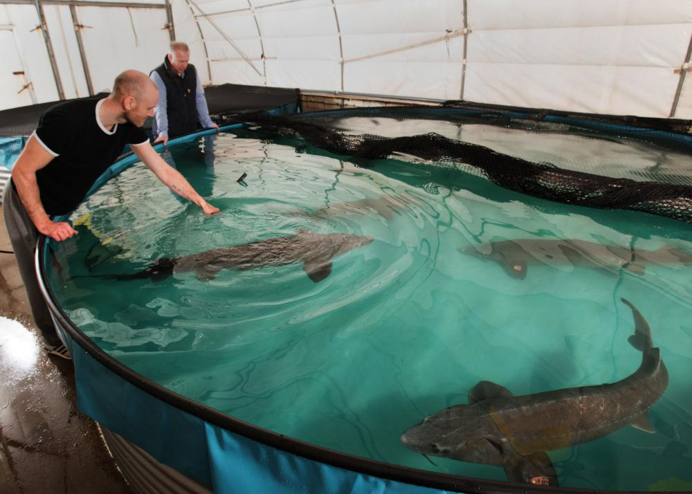 Yorkshire fish-lovers set up first ethical sturgeon caviar ...