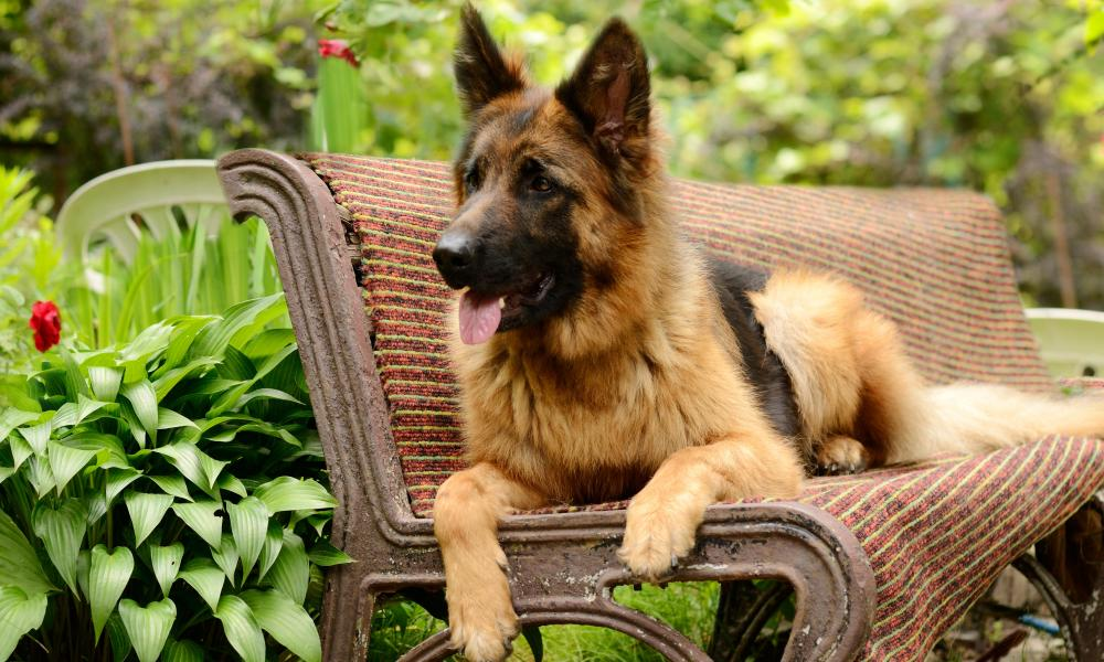 A German Shepherd sitting on a bench