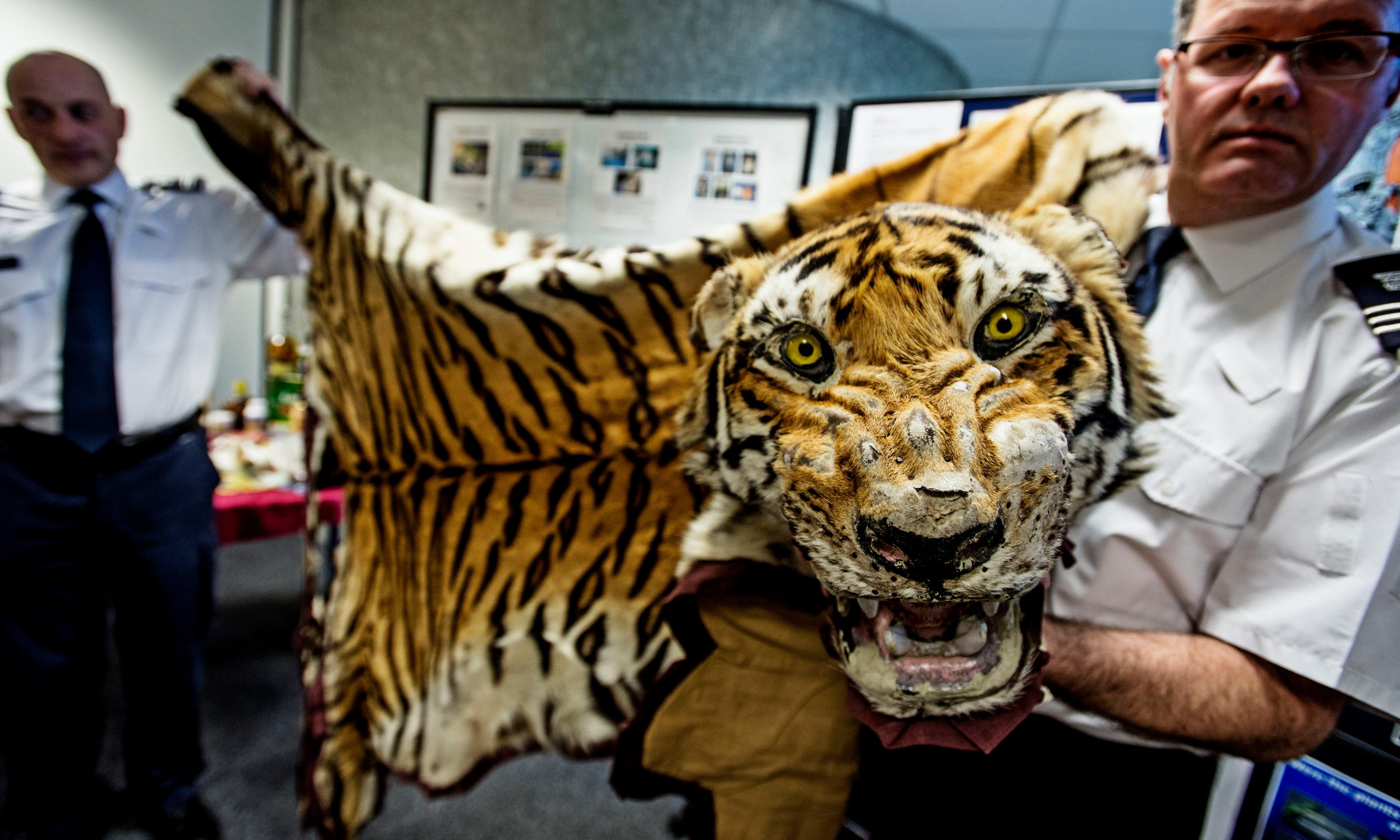 Two tigers seized from traffickers every week, report finds