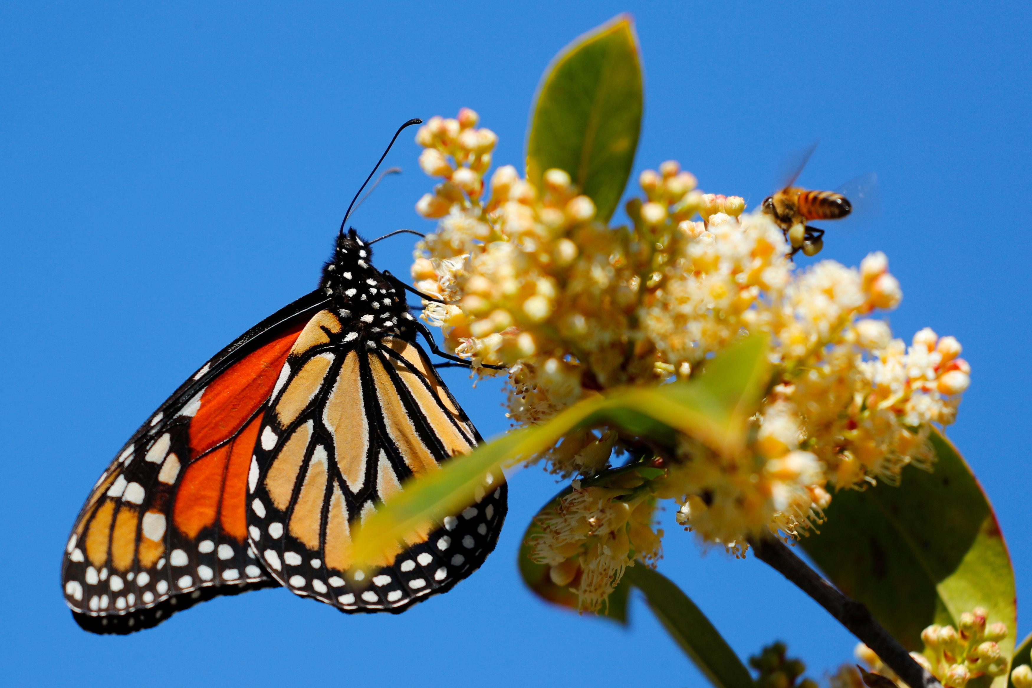 Monarch butterfly population critically low on California coast – again