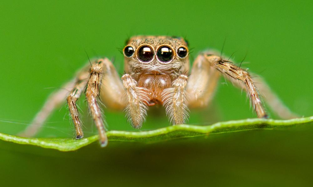 A close-up of a jumping spider on a leaf