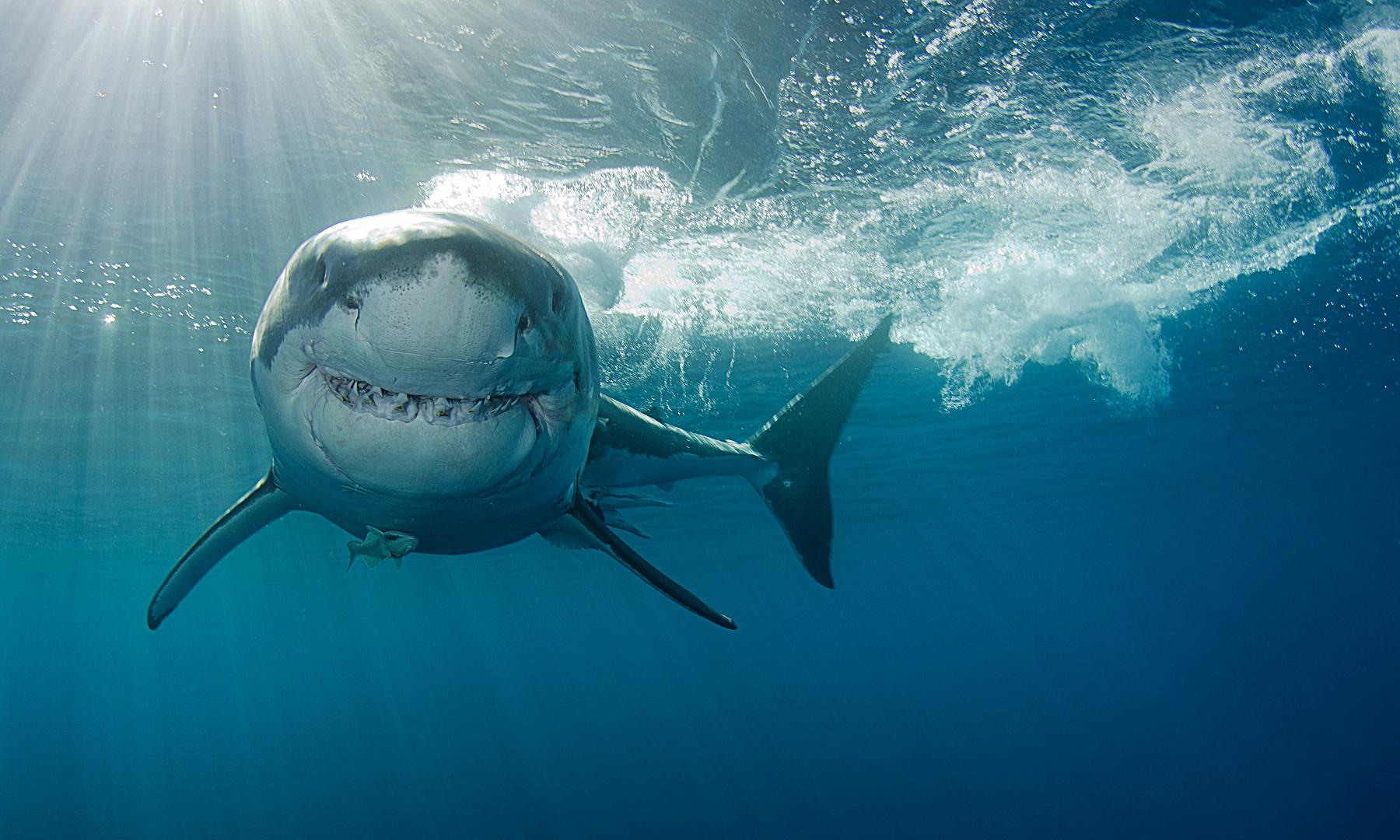 What animals are known to hunt and kill great white sharks? The Weekend quiz
