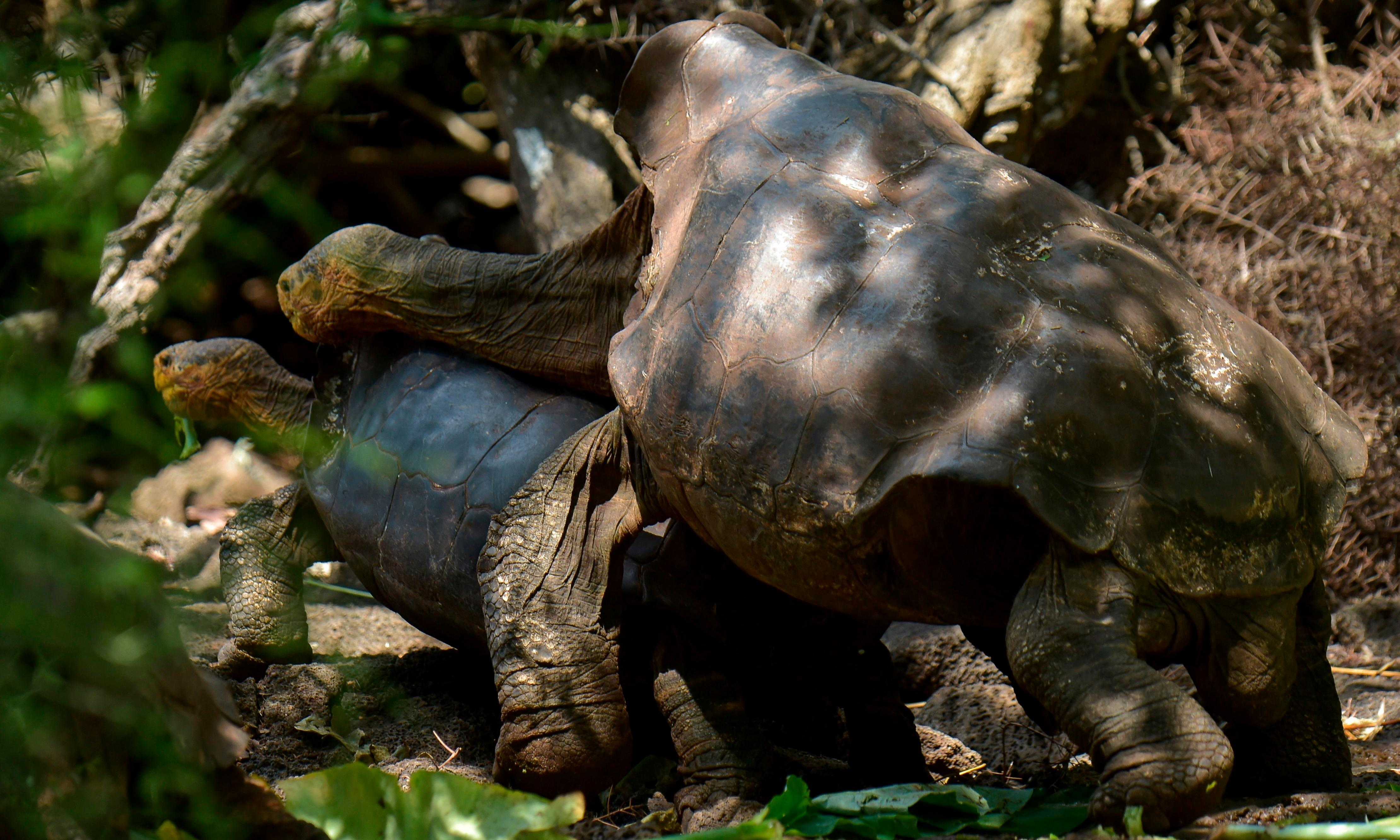 Sex superstar: how Diego the horny tortoise saved his species