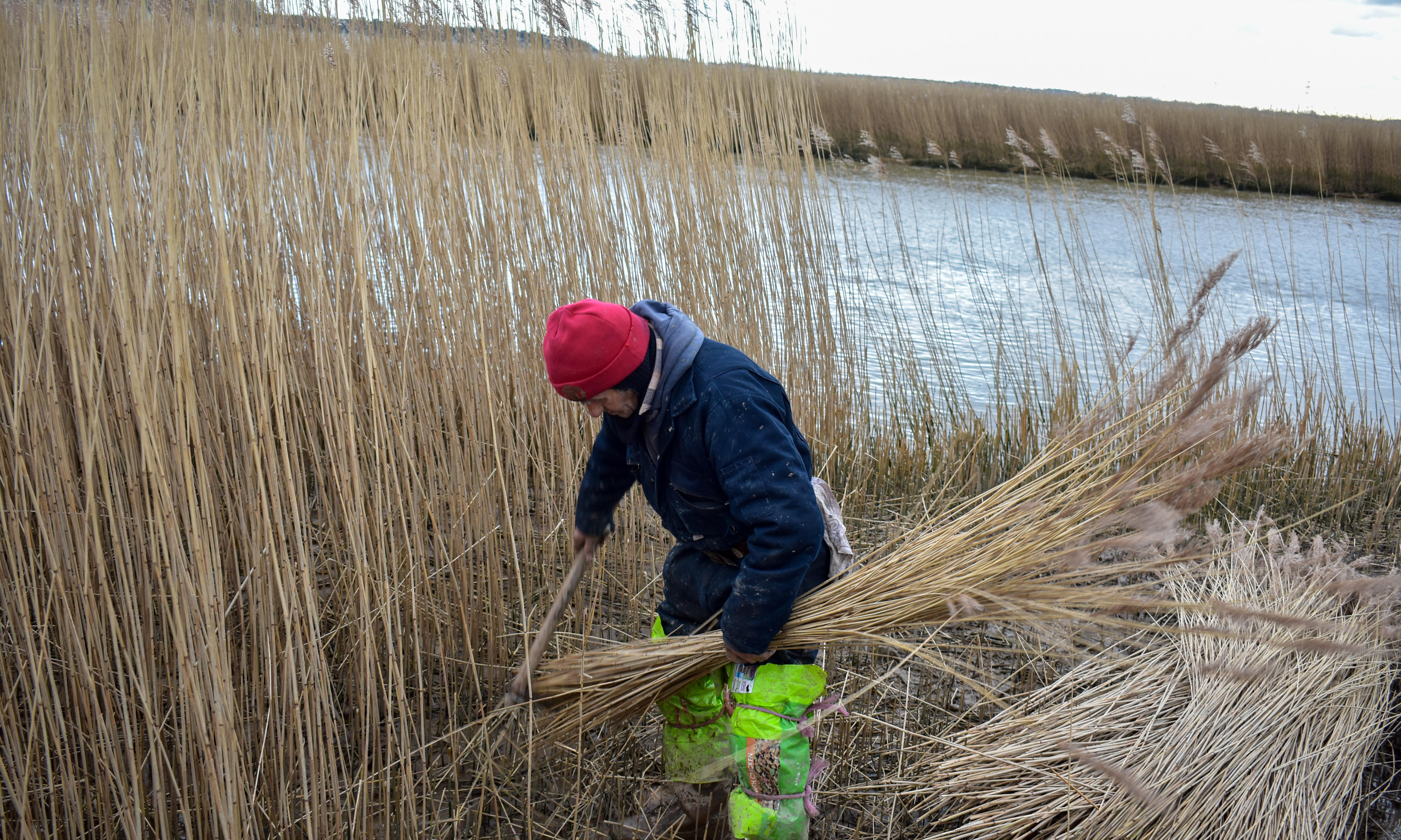 Country diary: last of the winter reed