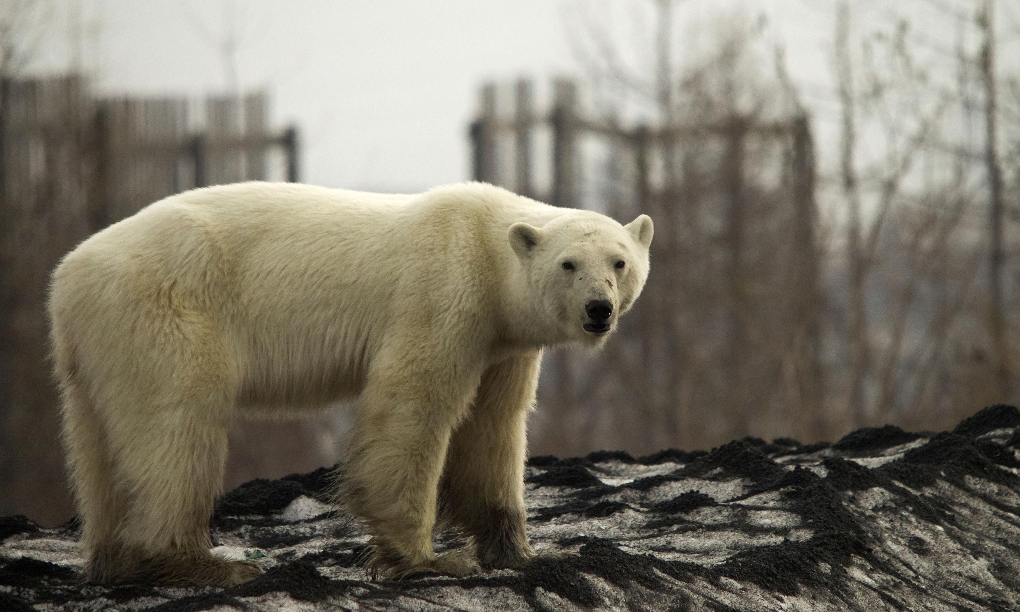 Stricken polar bear turns up in Siberian city, hundreds of miles from home