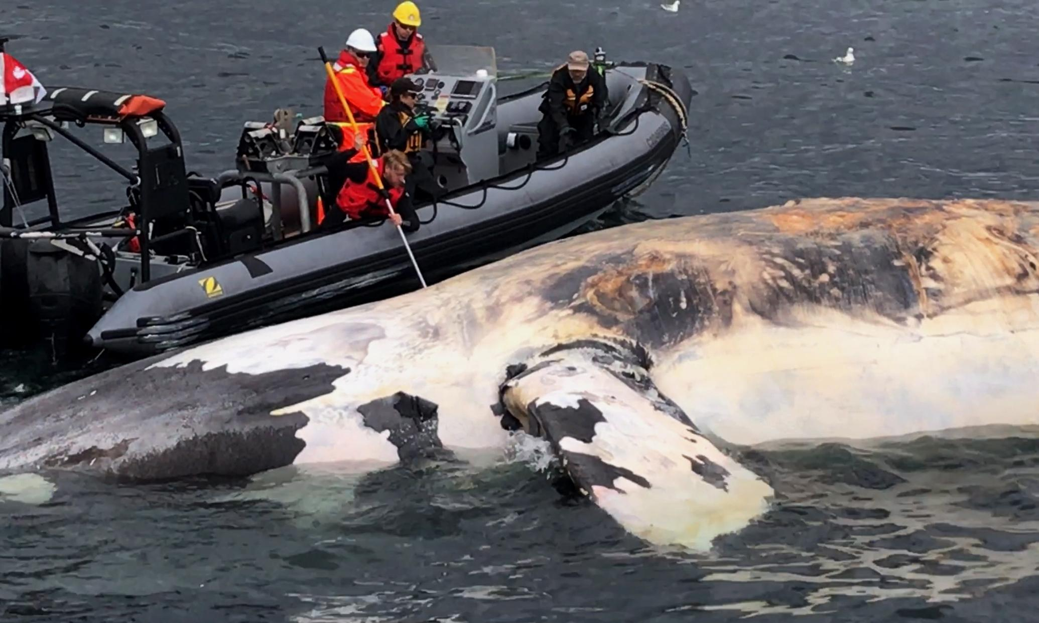 Seven right whales found dead in 'devastating' blow to endangered animal