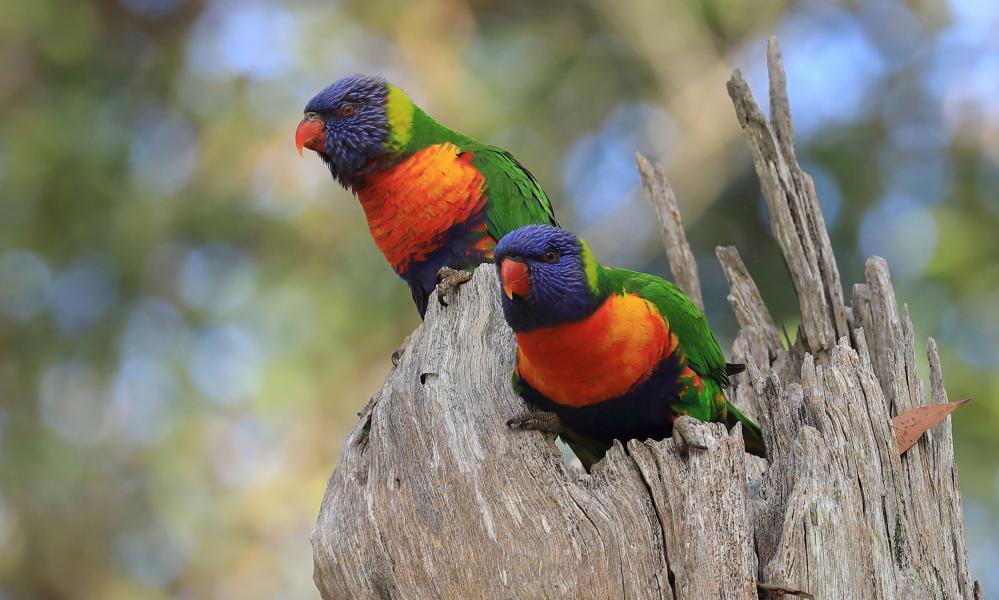 A pair of rainbow lorikeets on a stump