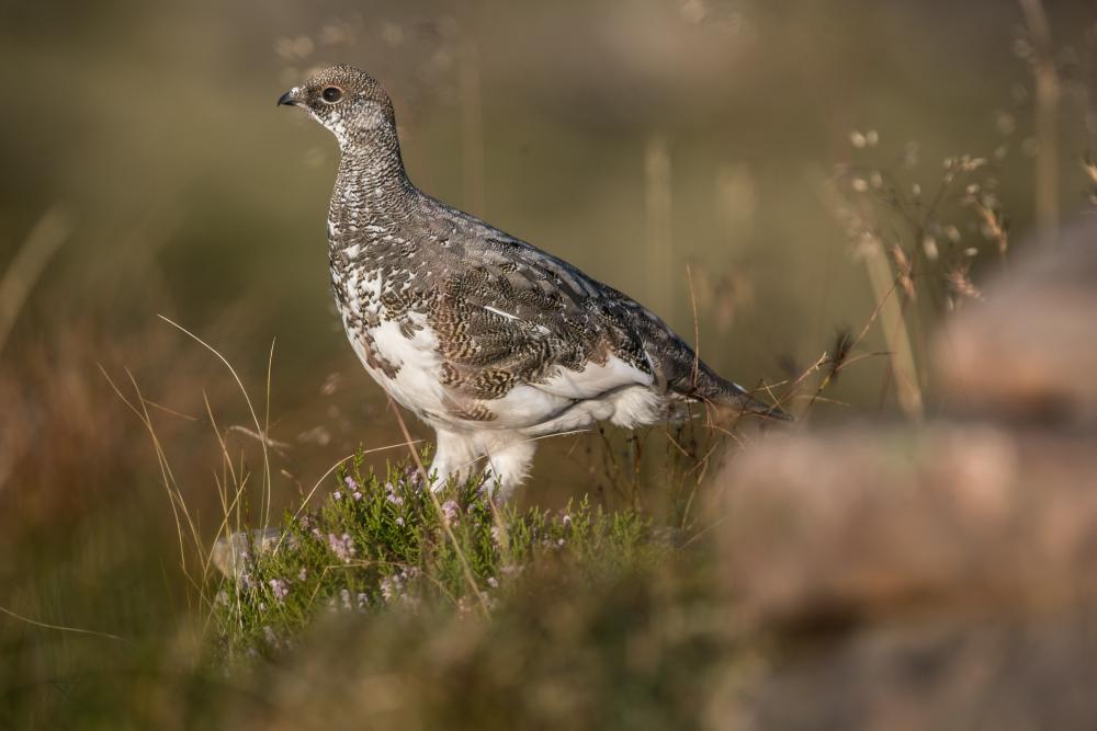 Ptarmigan with summer plumage.