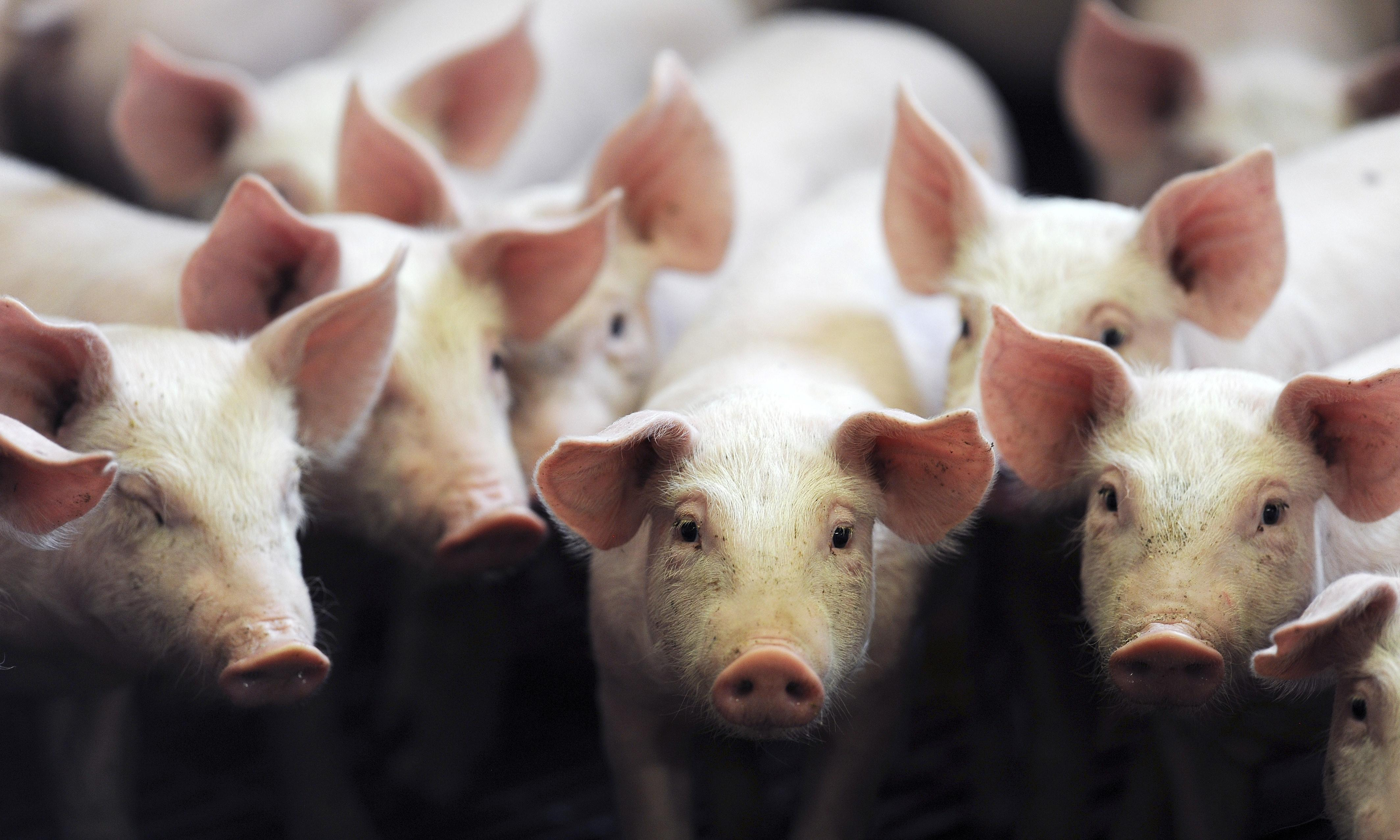 Researchers 'reboot' pig brains hours after animals died