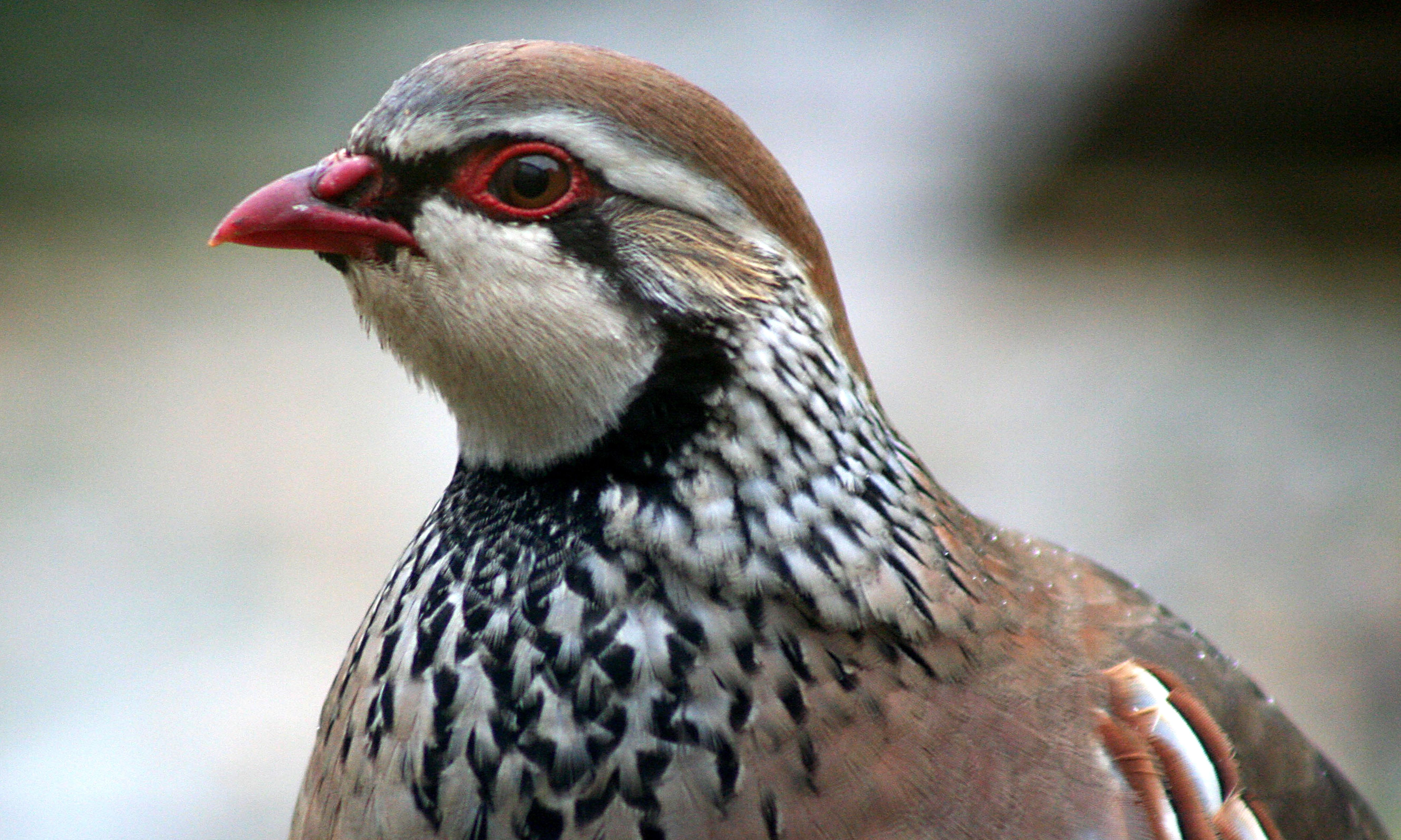 Defra to review release of game birds after legal threat