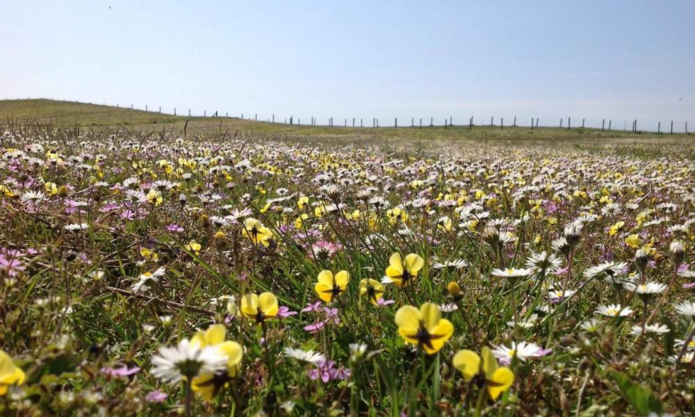 Spring flowers in the Meadows of Machair, North Uist