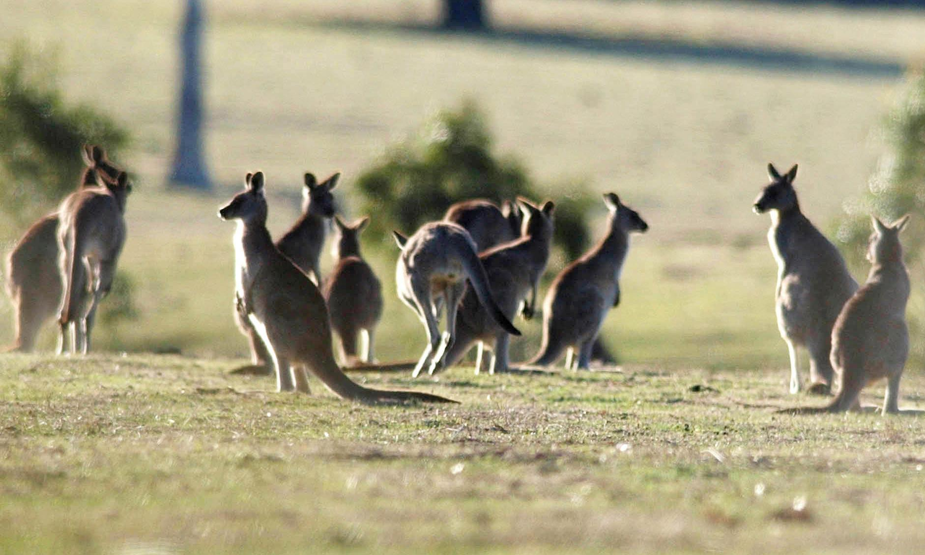 Australia's kangaroo meat trade could be the most sustainable in the world, despite welfare concerns