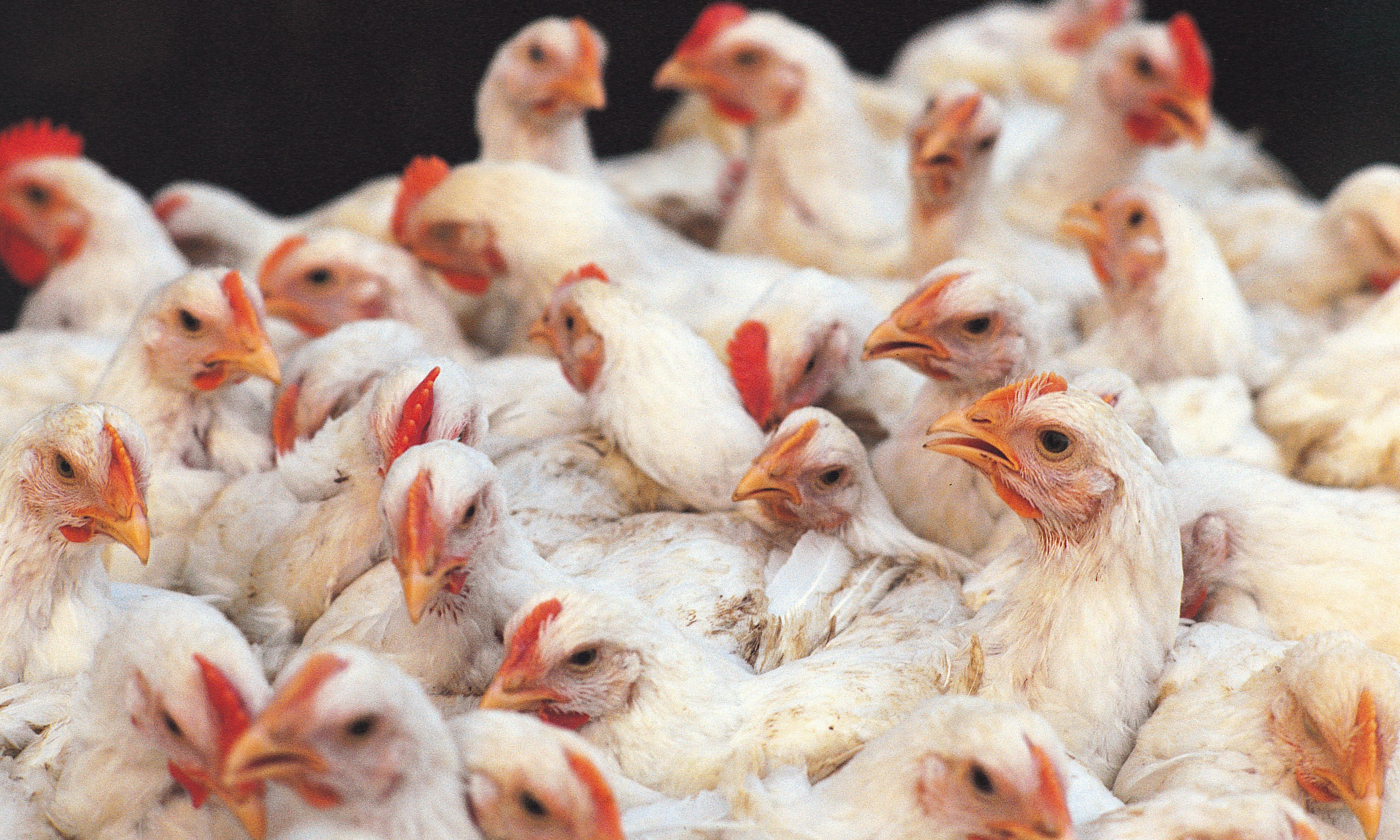 India's farmed chickens dosed with world's strongest antibiotics, study finds