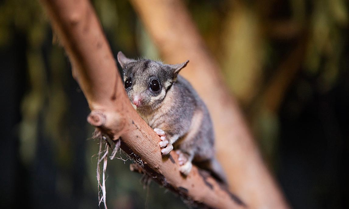 Plan to save endangered Leadbeater's possum must consider timber industry, minister says