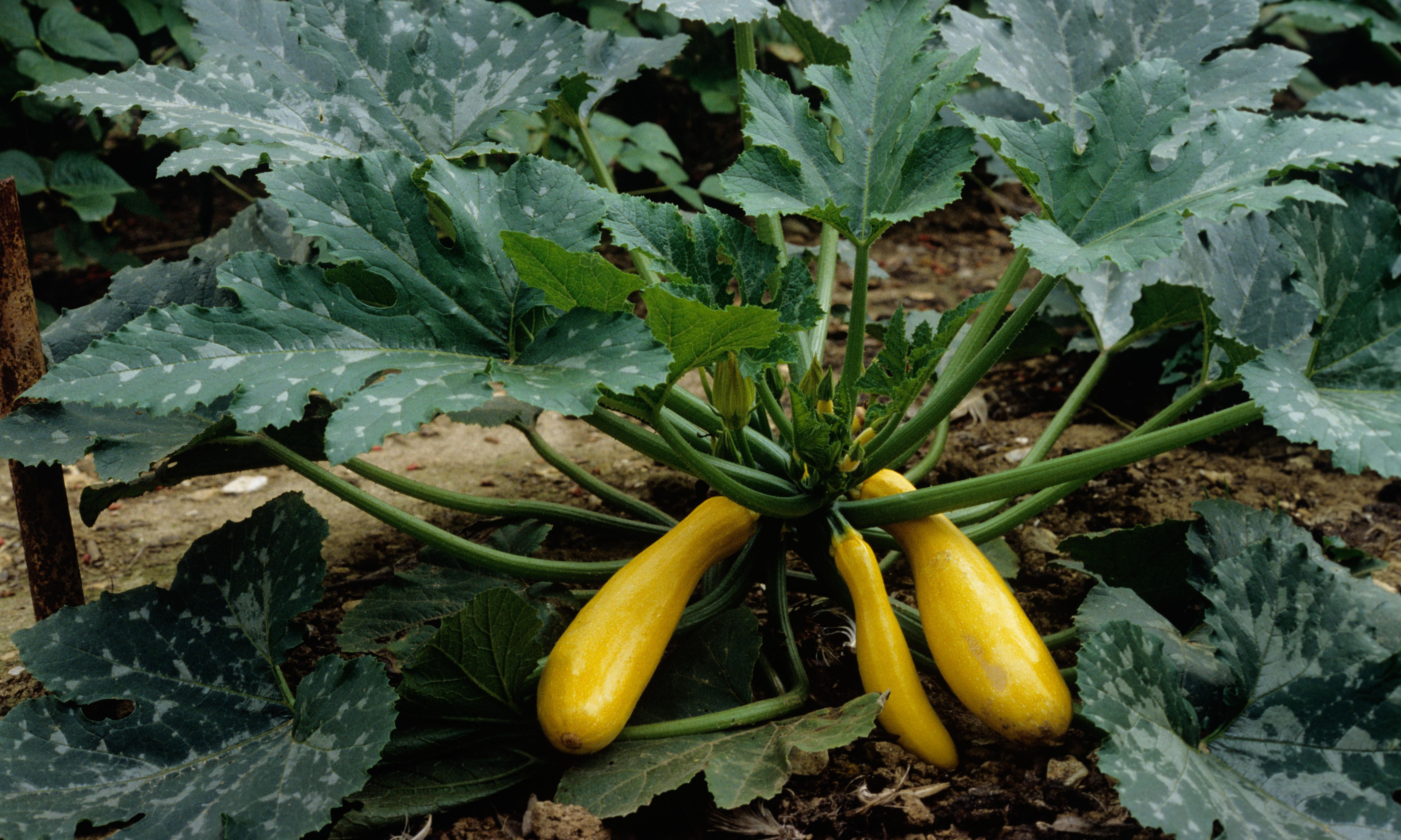 How to plant courgettes
