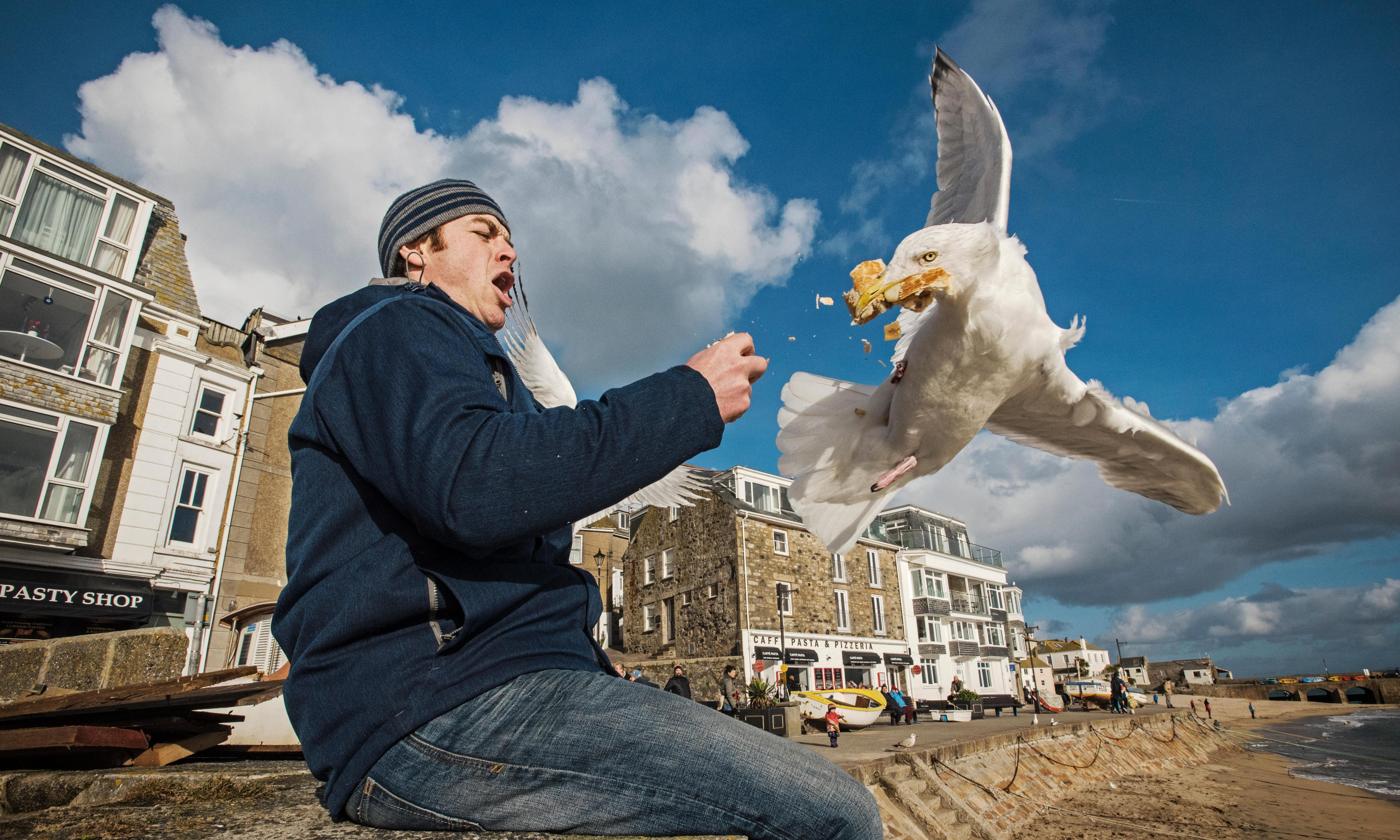 Gulls observe humans to home in on tasty scraps, study finds