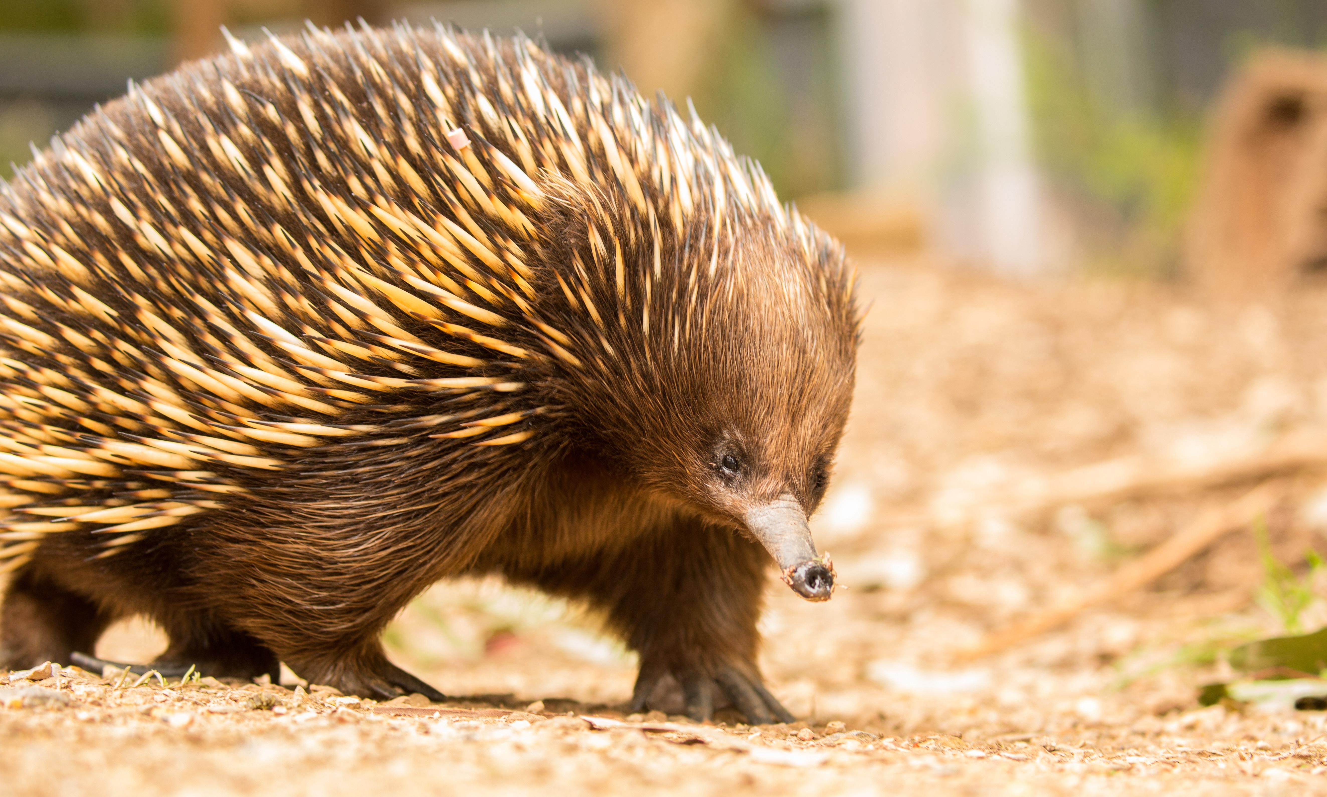 Matilda the echidna beats crippling ant allergy – with a little help from science