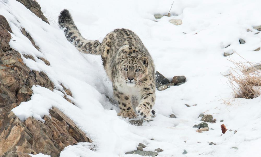 Snow leopard in India