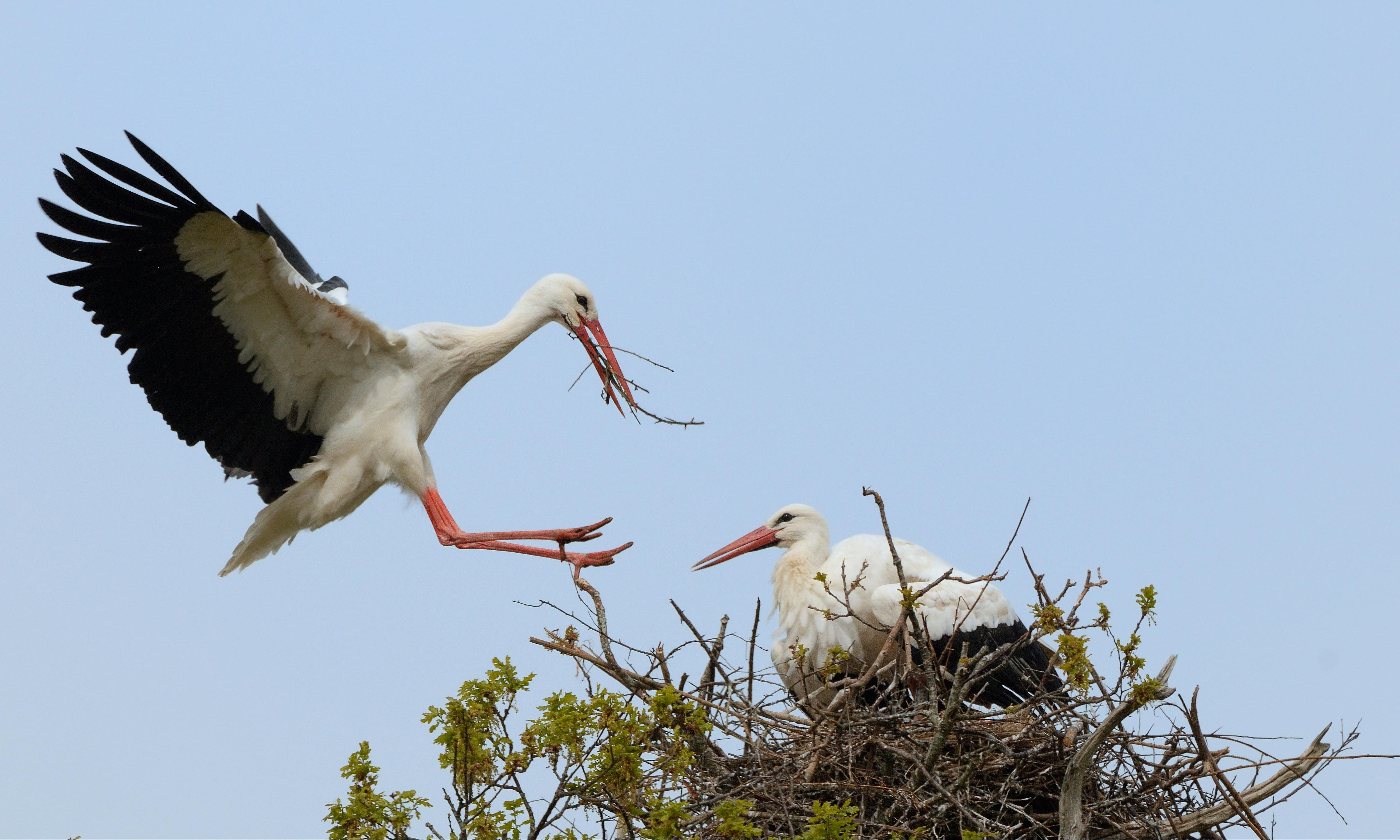 White stork pair could become first to breed in wild in UK for centuries