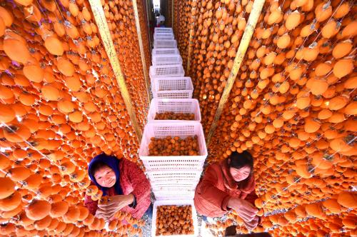Farmers collect dried persimmons in Chenjiaguanzhuang Village in east China's Shandong Province. The local government helped farmers to develop more than 160 agricultural projects to increase their income during the slack season in winter