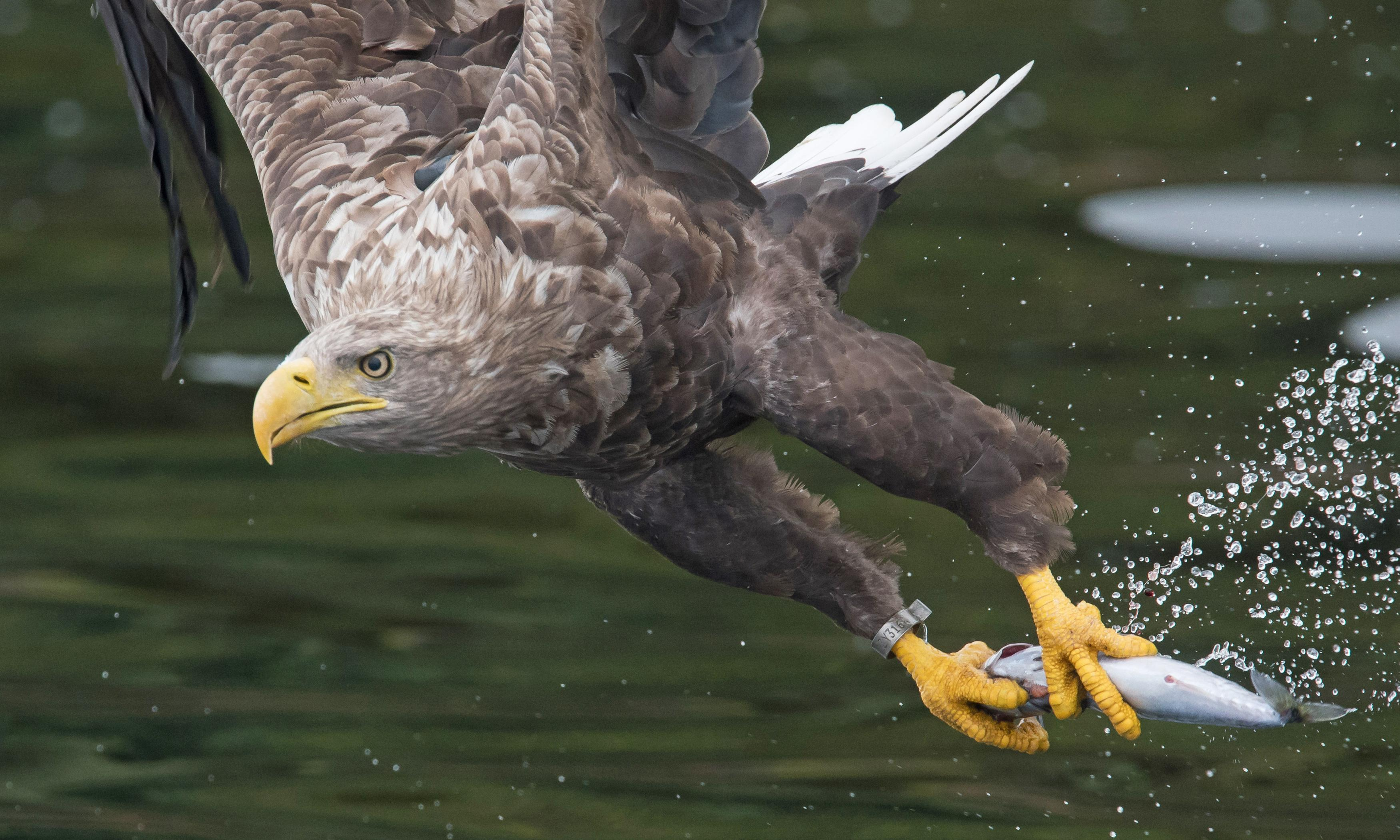 Young sea eagle takes up residence among Oxfordshire's red kites