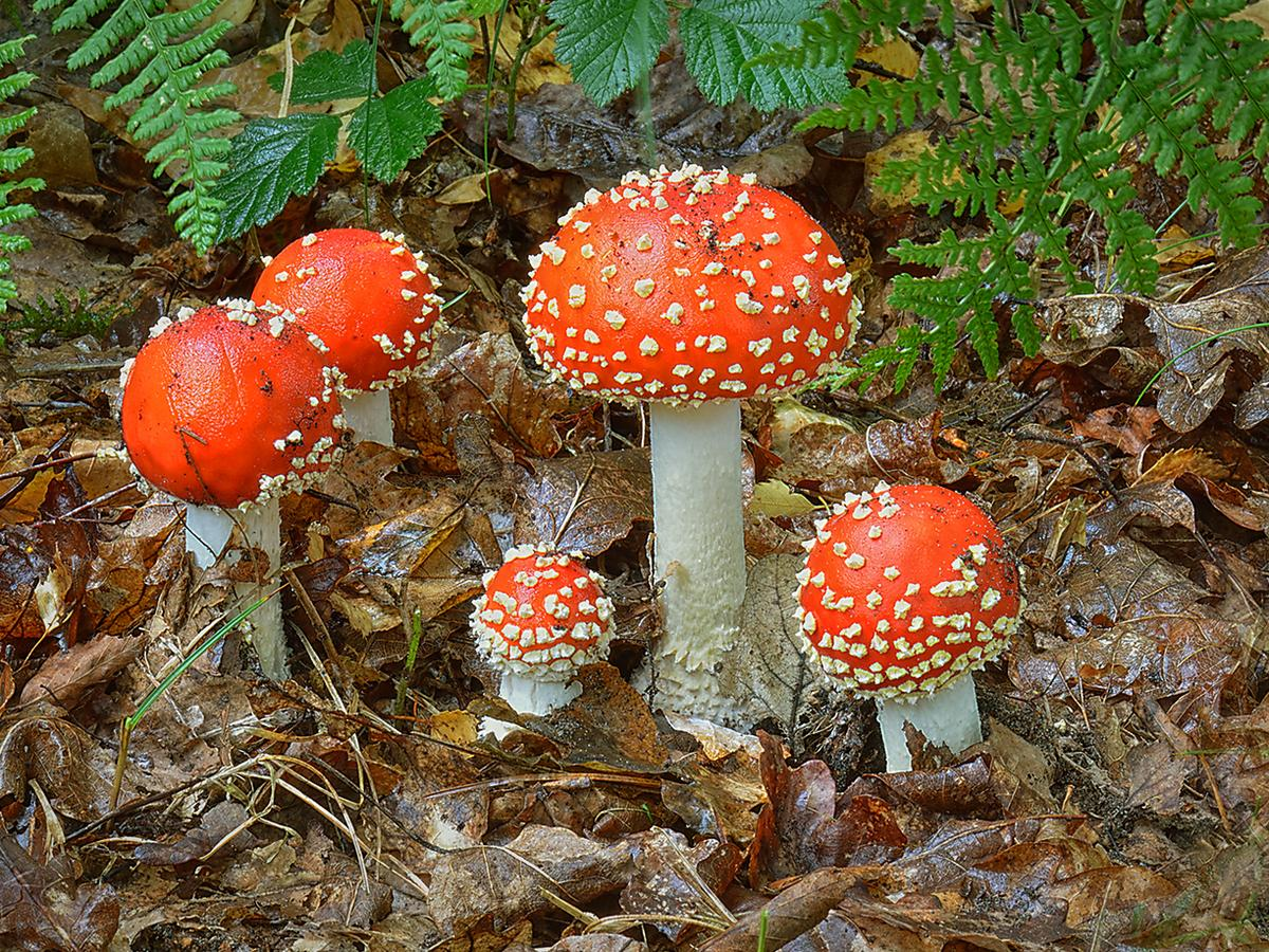 Plantwatch: mind-bending mushrooms have had a good autumn