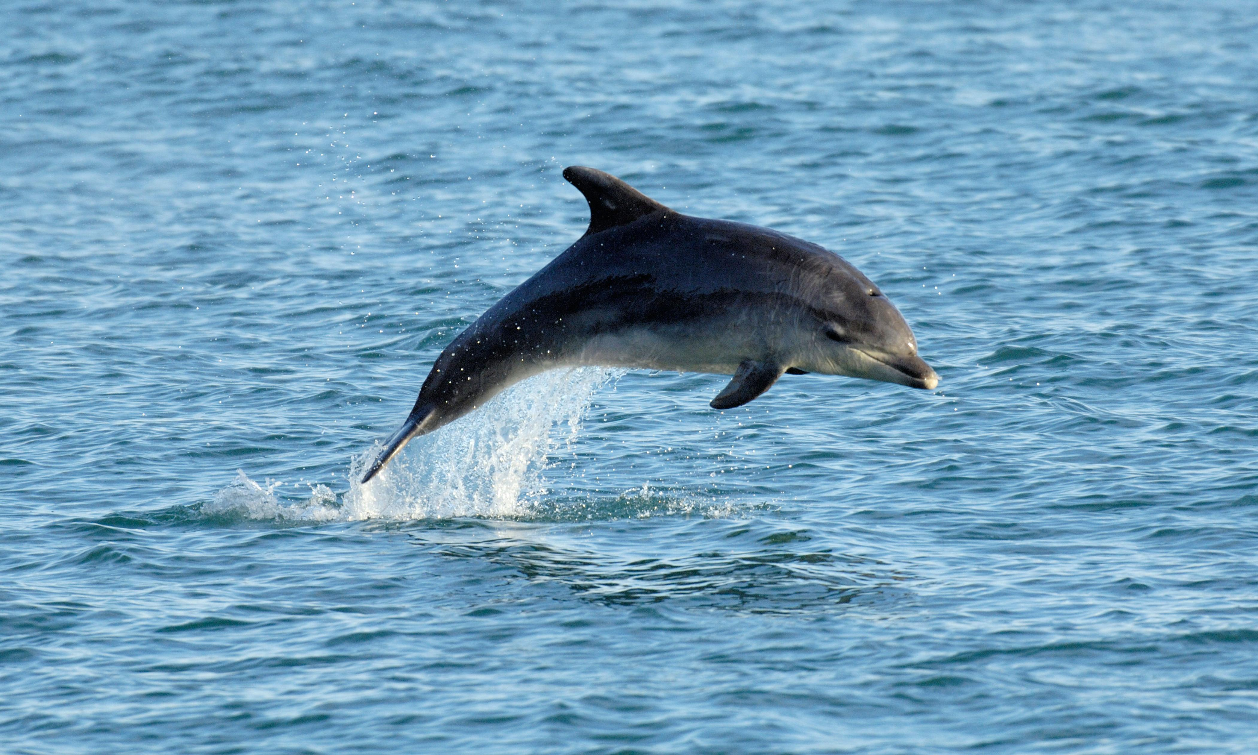 Antibiotic resistance rising among dolphins, study reveals