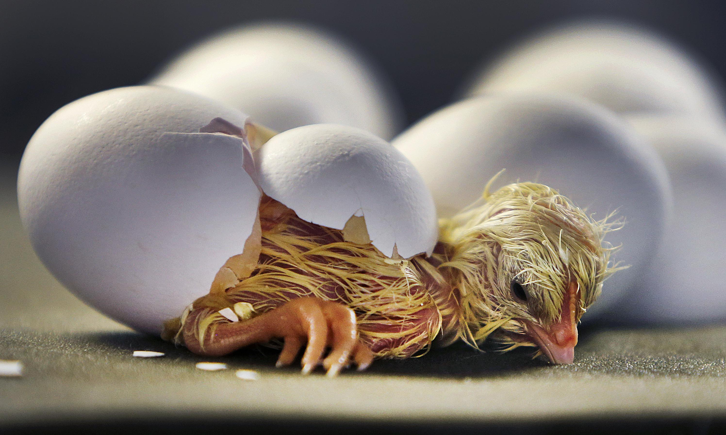 Scientists solve eggshell mystery of how chicks hatch