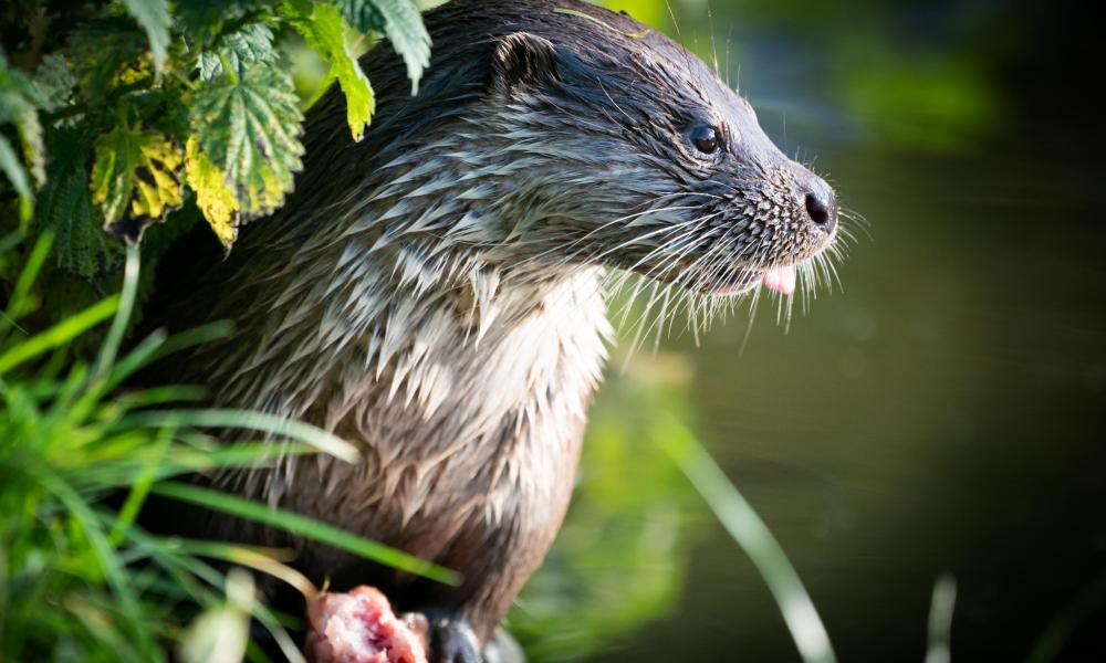 Otters' habitat has been affected by water abstraction.